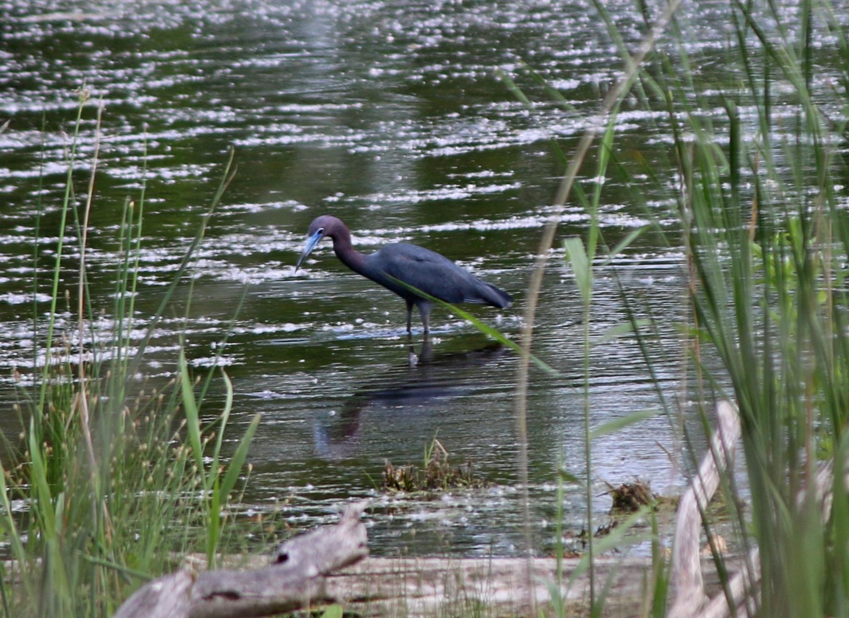 Little Blue Heron at Indian Ridge Marsh