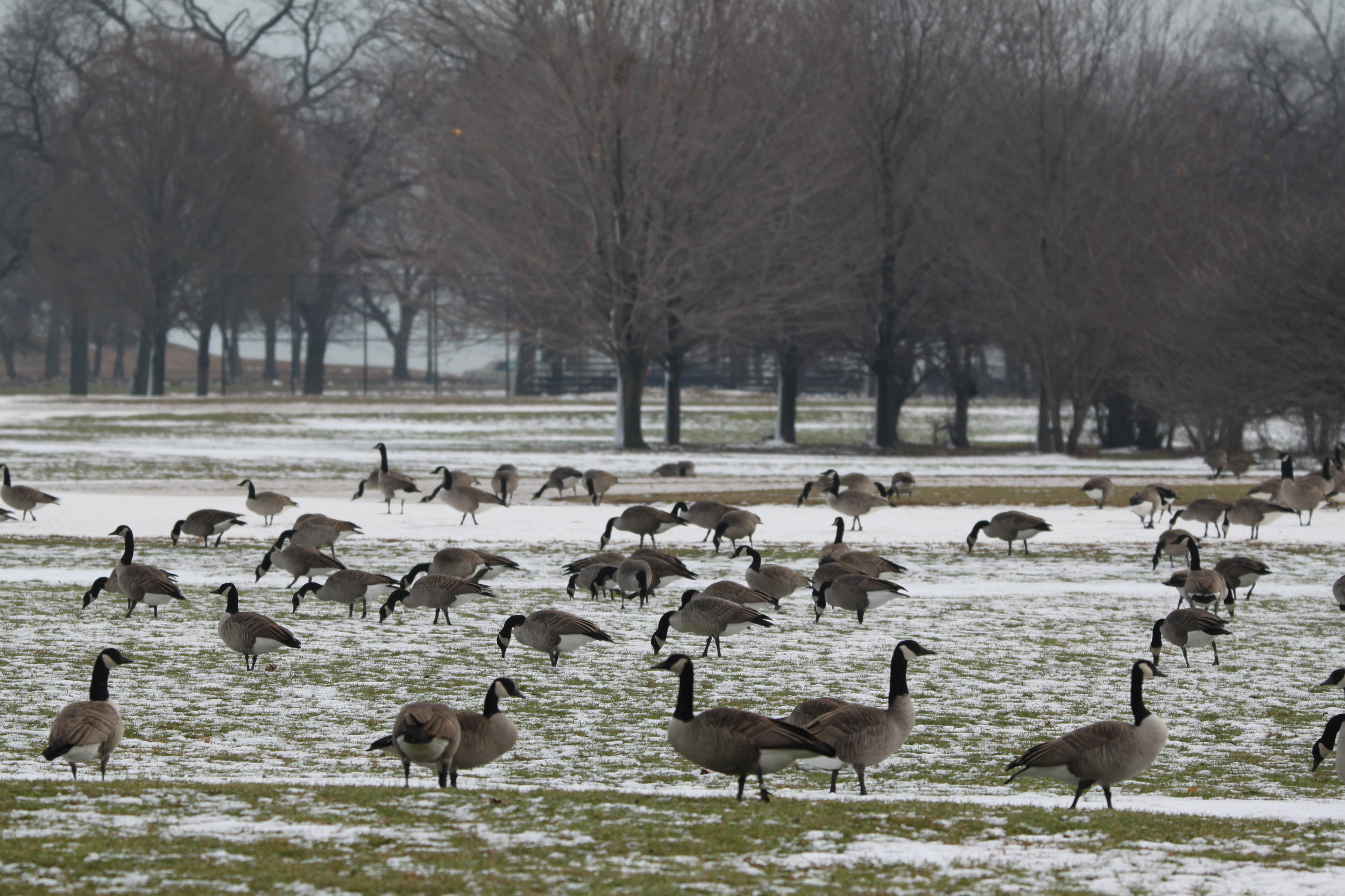 One of these birds is not like the others. Finding a Cackling Goose amid hundreds of Canada Geese poses a challenge.