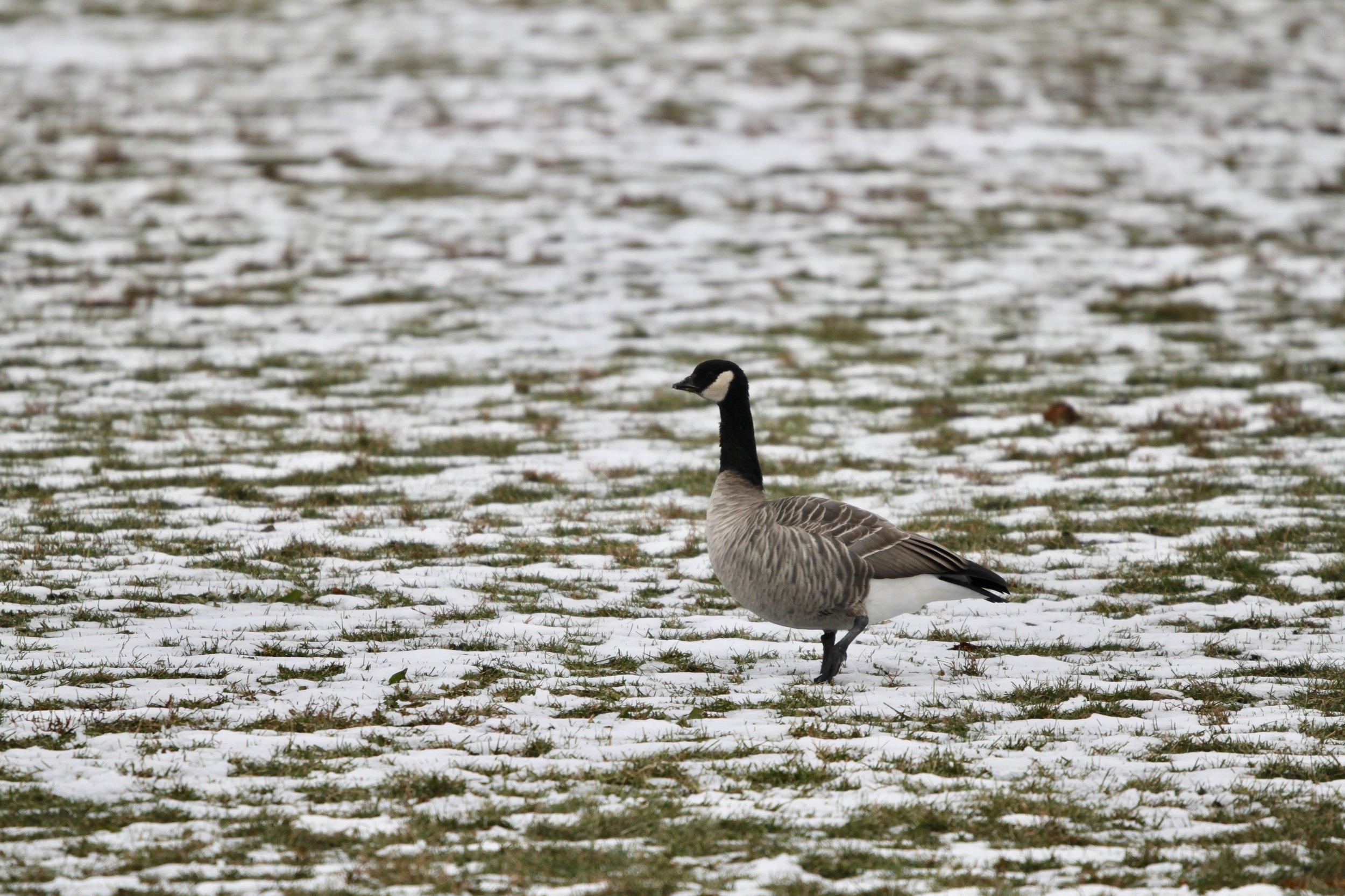 A Cackling Goose present in Calumet Park in Chicago in November 2018.