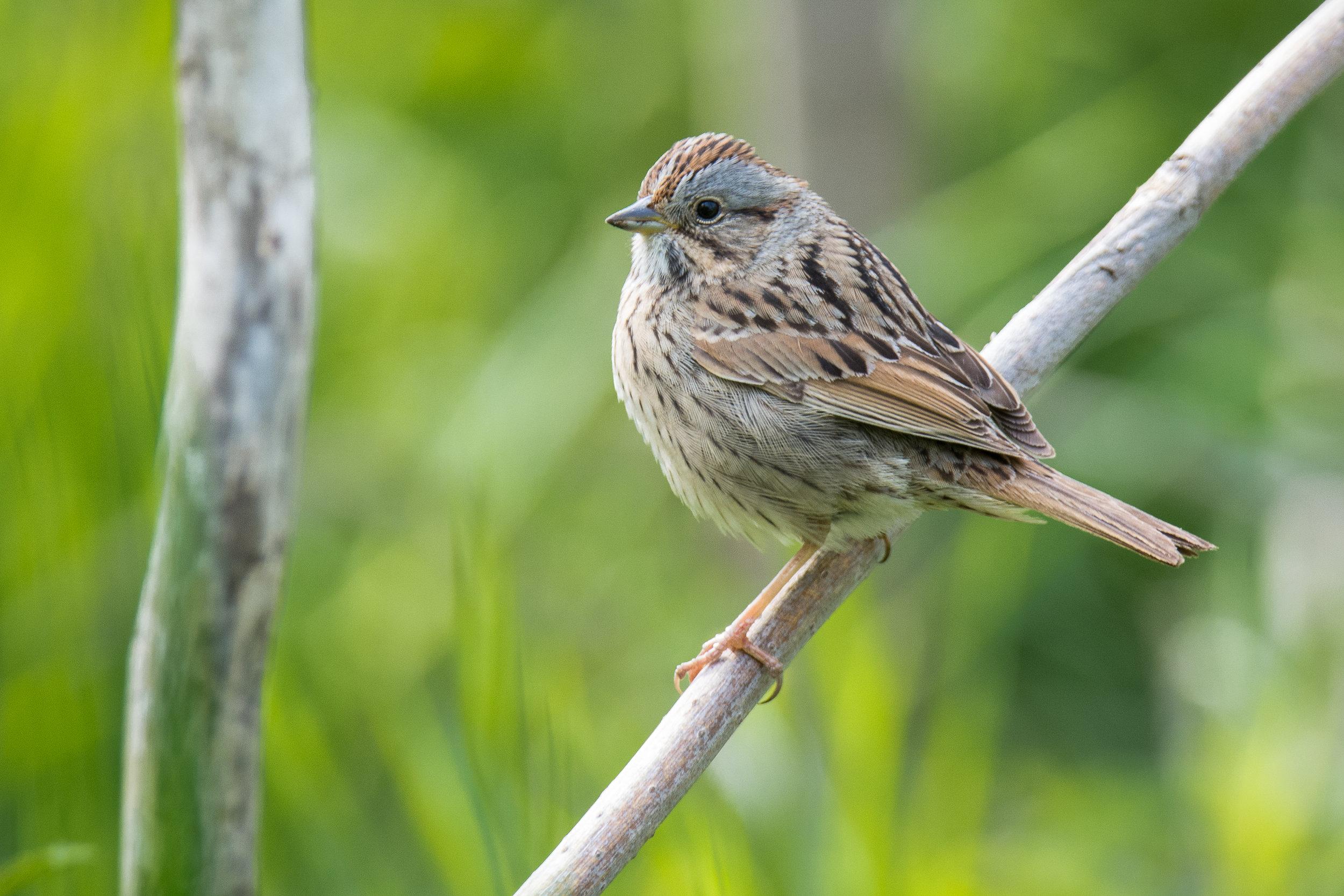 Lincoln's Sparrow.jpg