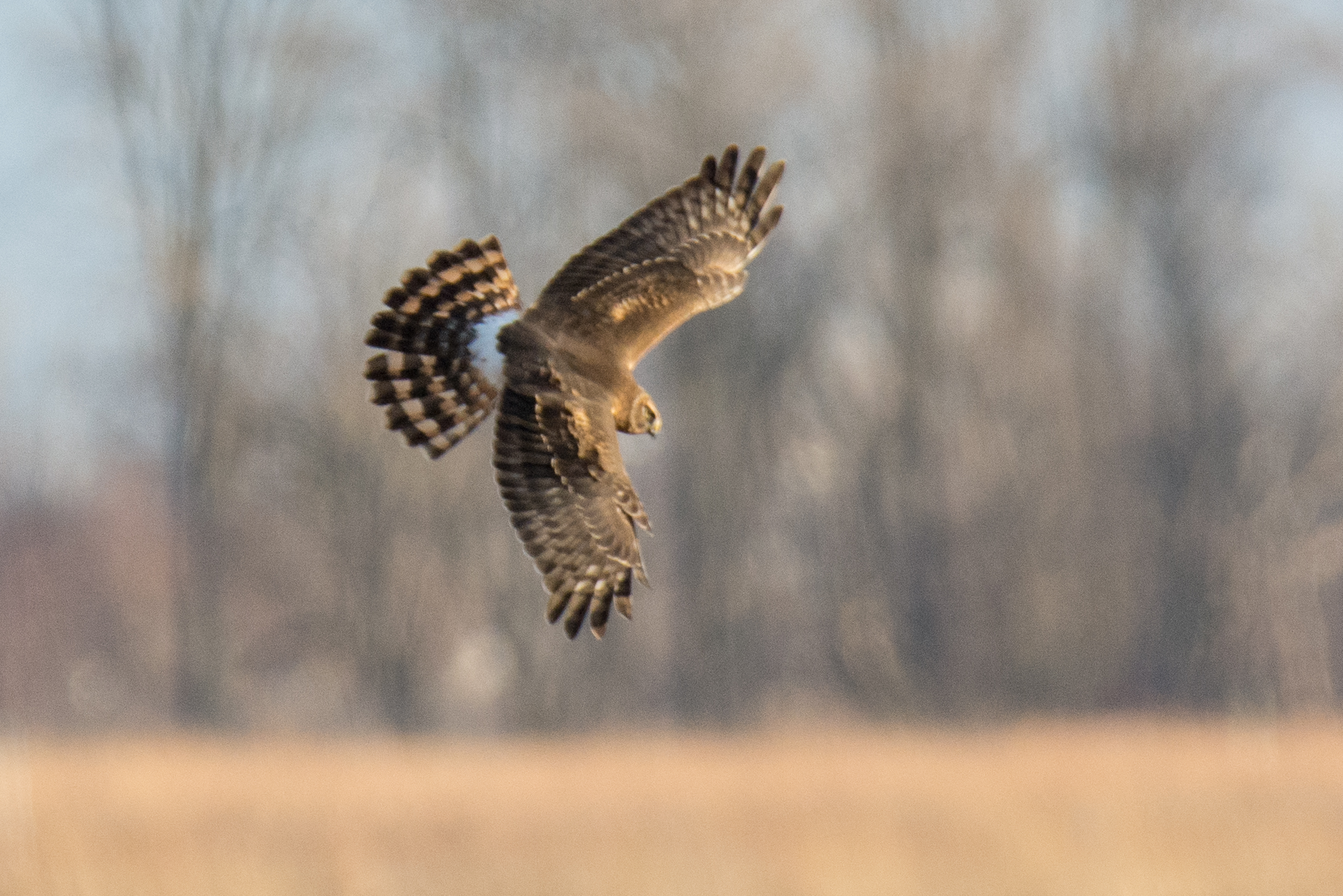 Northern Harrier.jpg