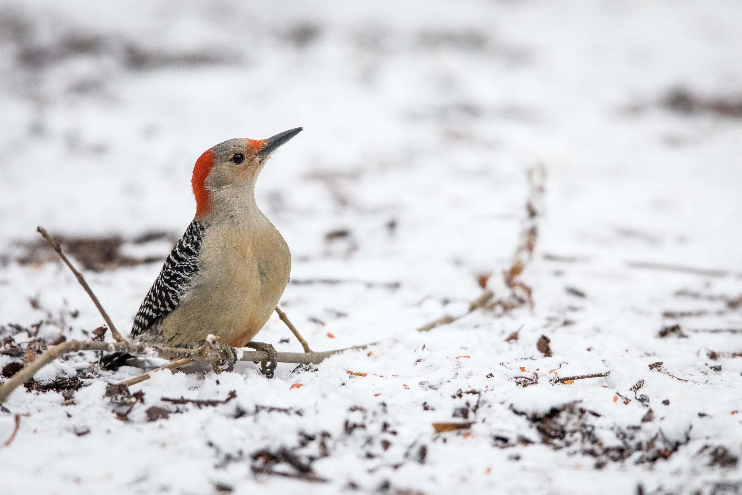 Red-Bellied Woodpecker. Photo by Jeff Goldberg -  https://www.facebook.com/jeffagoldberg  and/or Instagram at  https://www.instagram.com/always.moving .