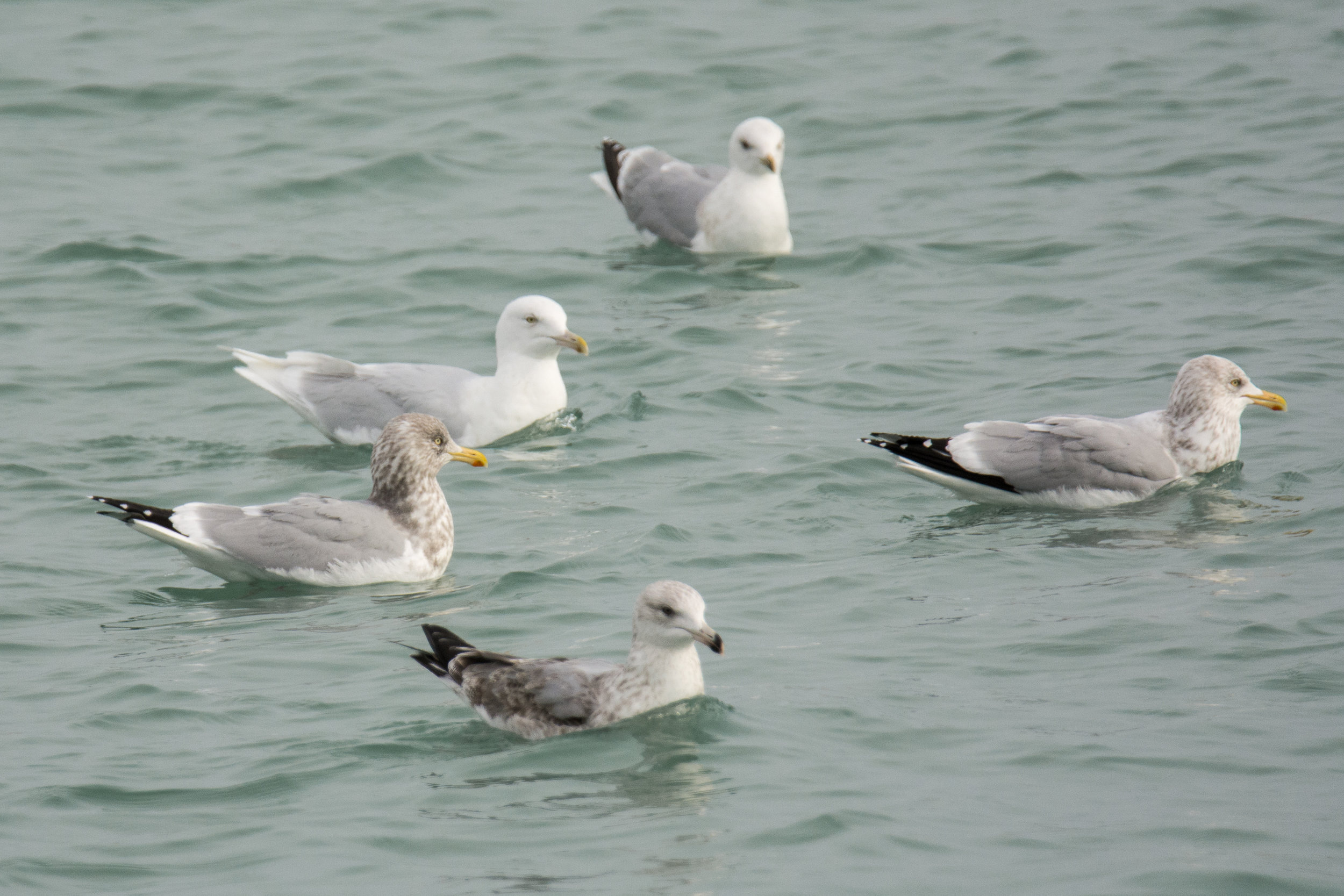 Adult Glaucous Gull among a group of Herring Gulls