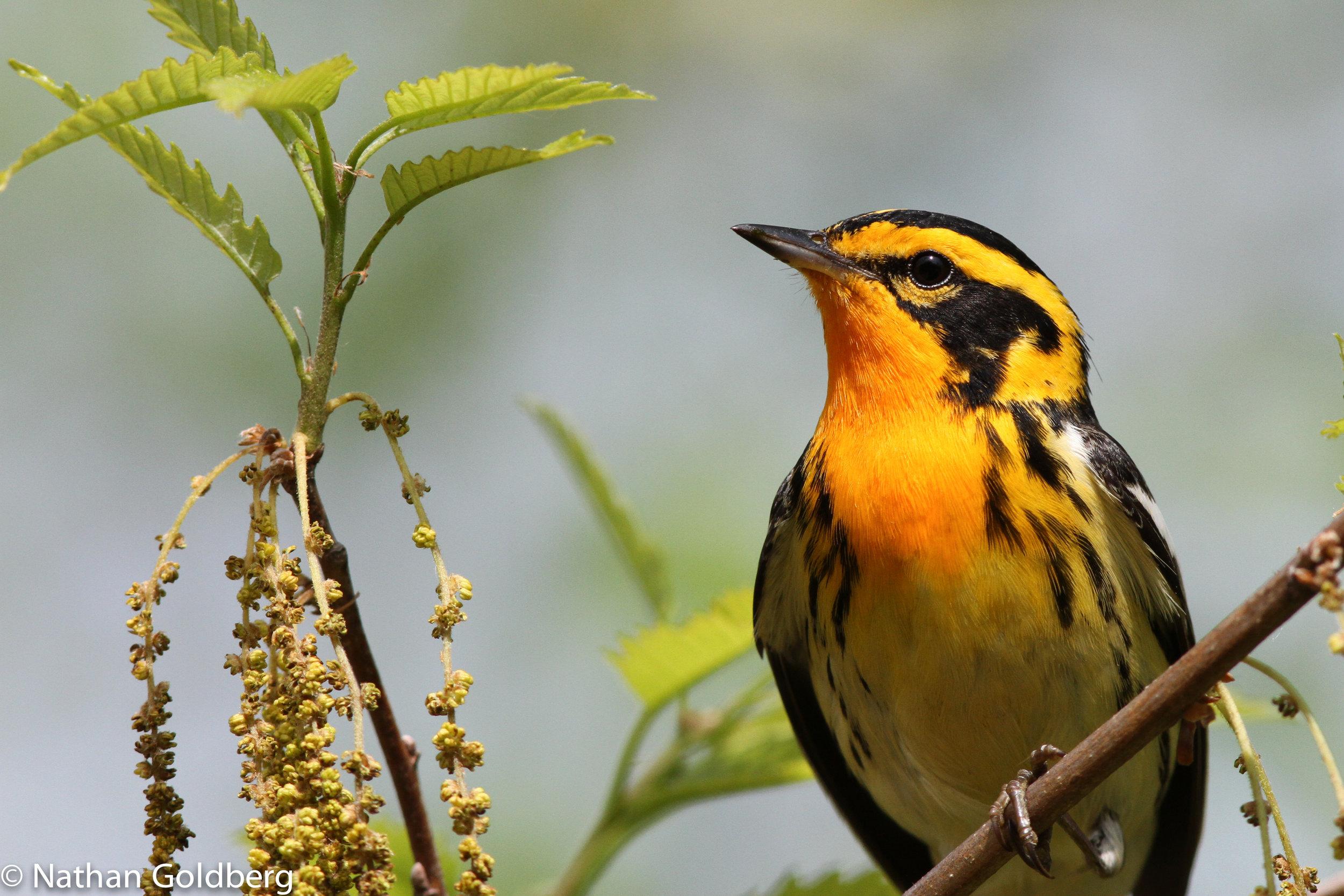Blackburnian Warbler - photo by Nathan Goldberg