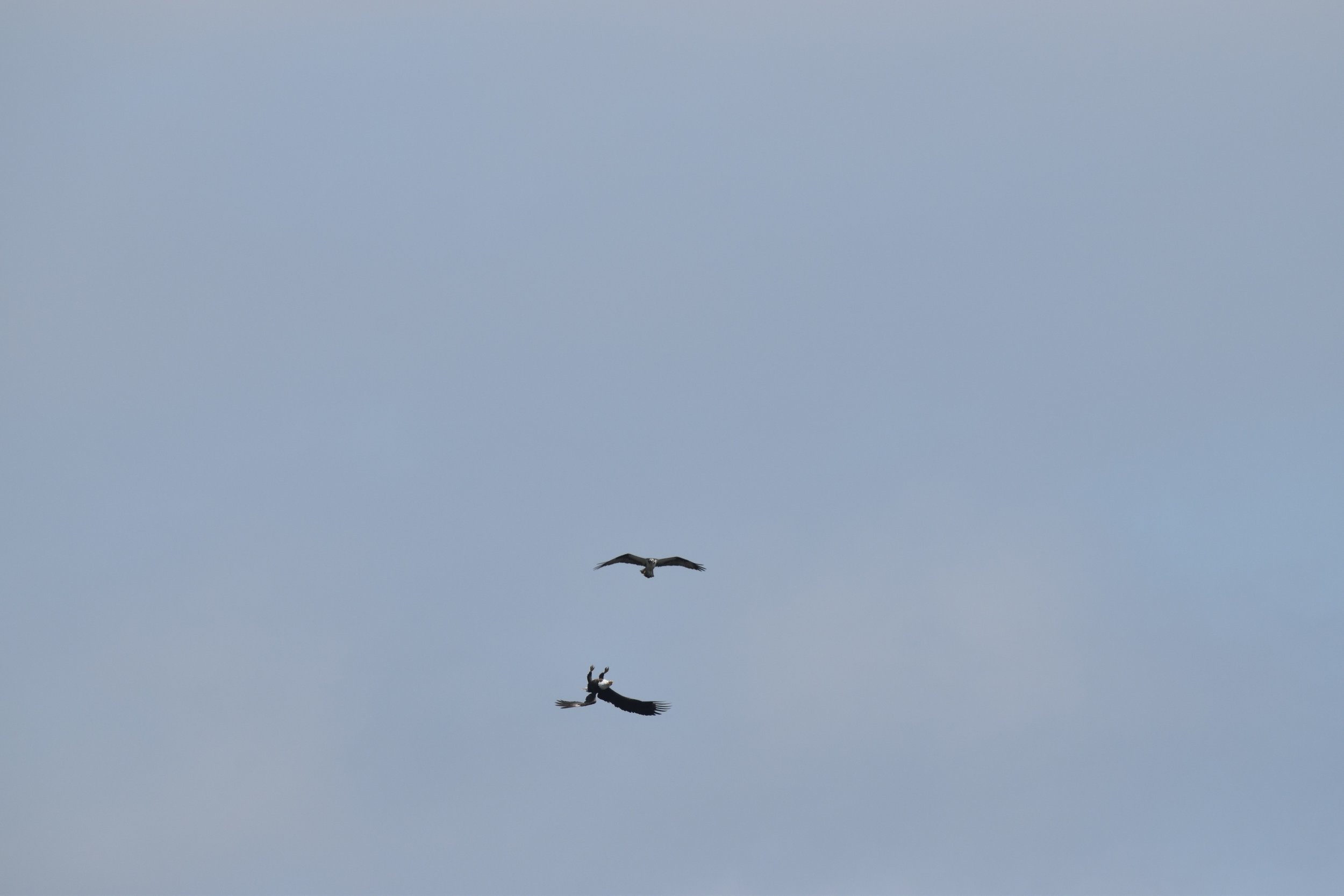 Osprey vs. Bald Eagle aerial territory skirmish over Tuttle Marsh Wildlife Area in Iosco County, Mich. Photo credit: Dion Carmona