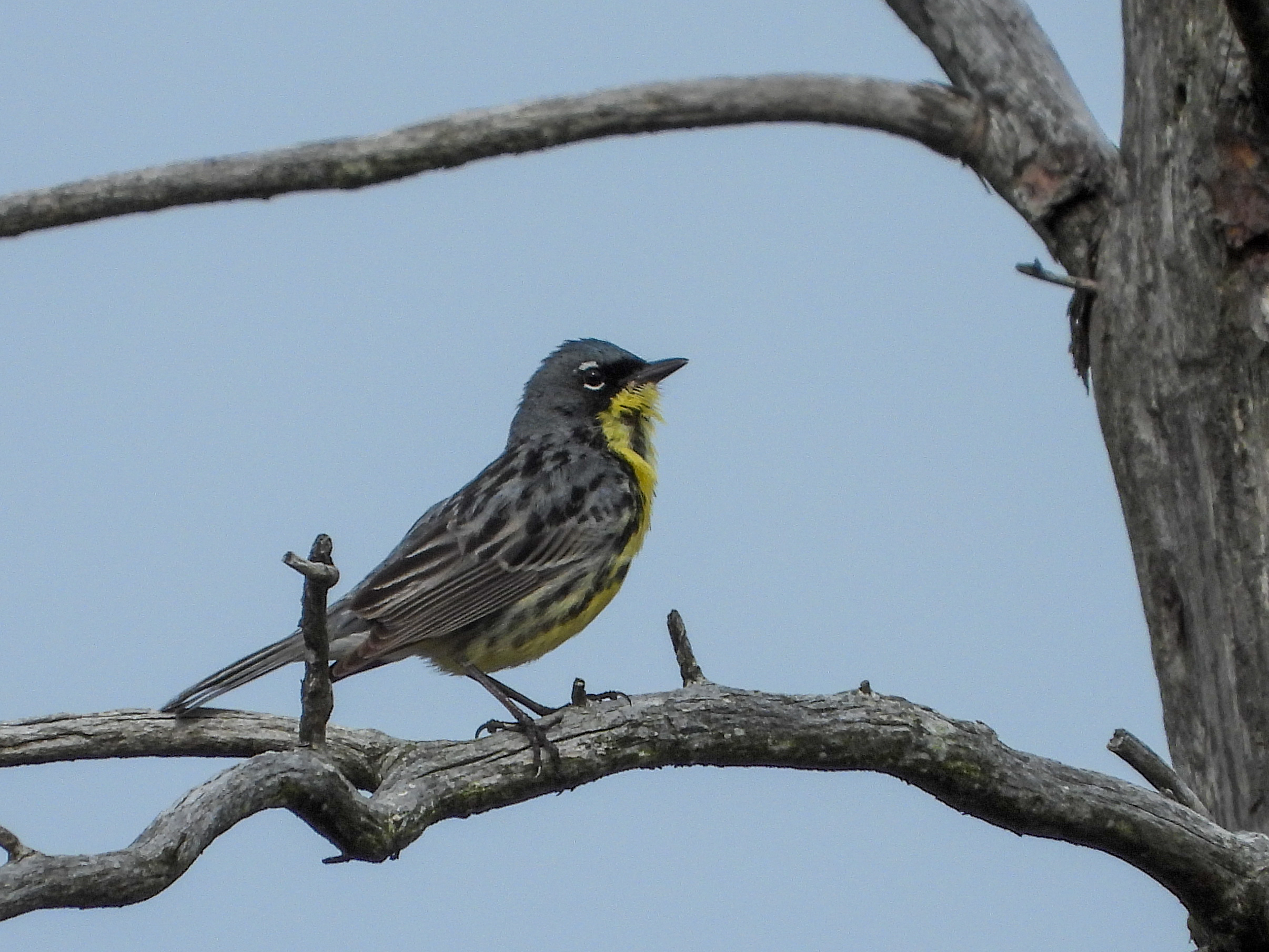 One of the 12 male endangered Kirtland's Warblers seen in their protected habitat in Iosco County, Mich. Photo credit: Sam Burckhardt