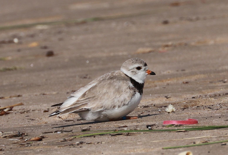 Adult plover - June 21