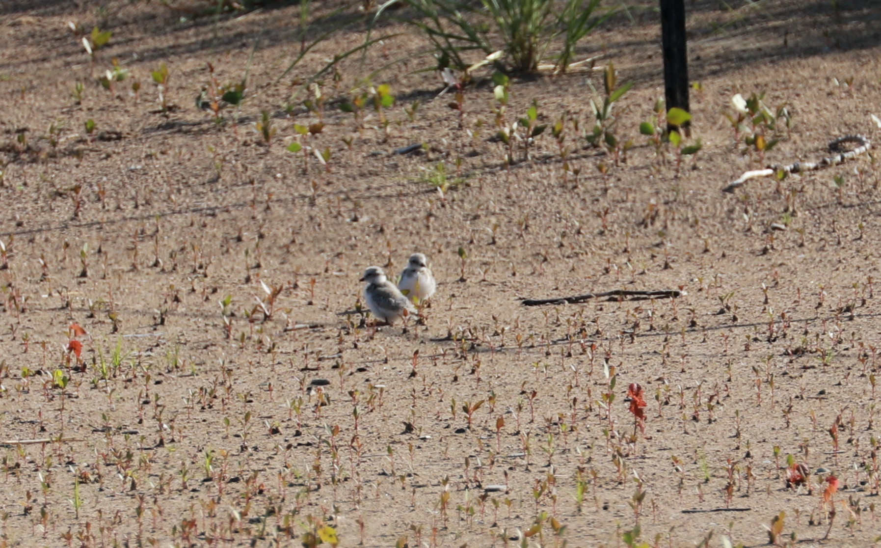 Piping Plover chicks Aug. 2, 2019 1.jpg