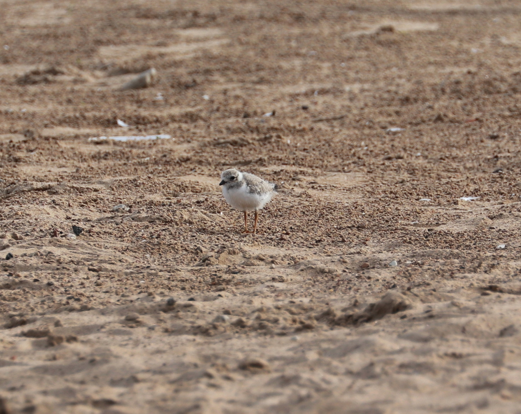 Piping Plover chick Aug. 4, 2019 4.jpg