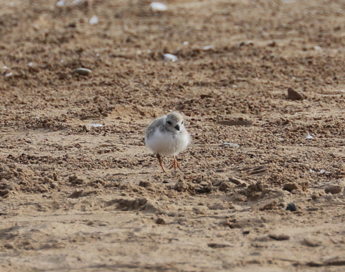 Piping Plover chick Aug. 4, 2019 5.jpg
