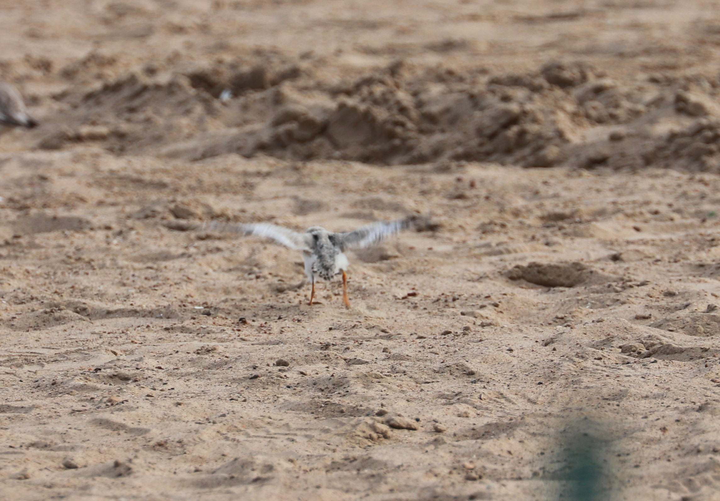 Chick in early flight - August 4
