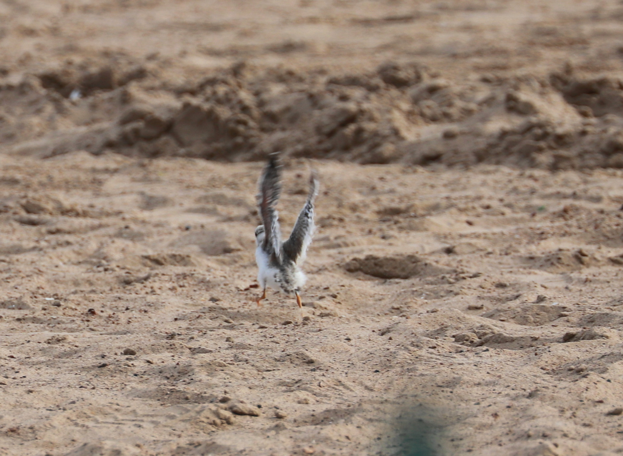 Piping Plover chick Aug. 4, 2019 2.jpg