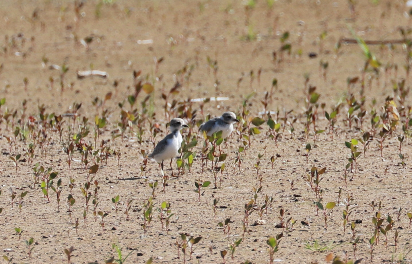 Piping Plover chicks 3 weeks old Aug. 8, 2019 3.jpg