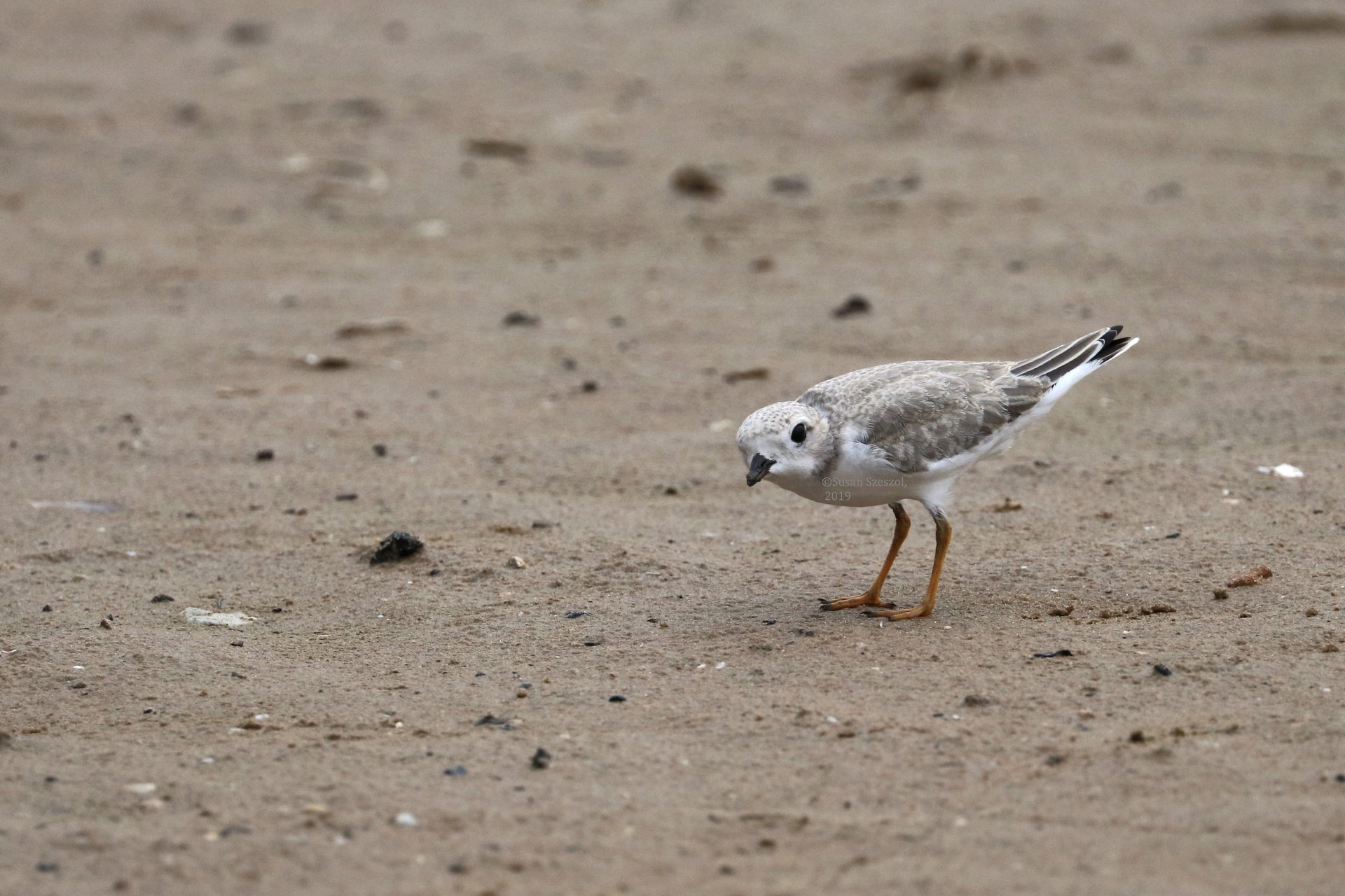 Plover chick - officially fledged - August 18