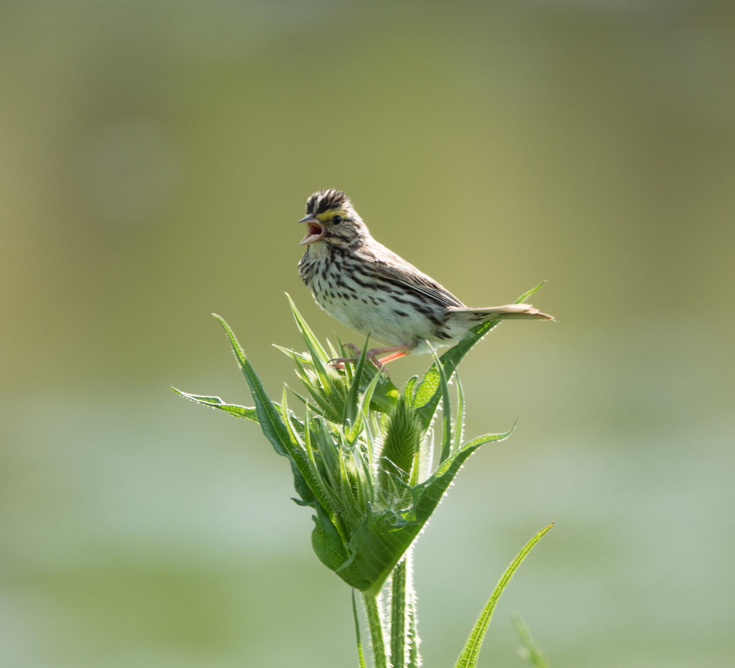 Savannah Sparrow; Amanda Tichacek