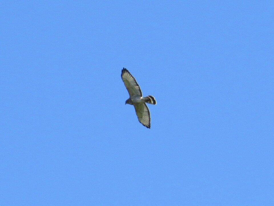 Broad-winged Hawk (Jeff Skrentny)