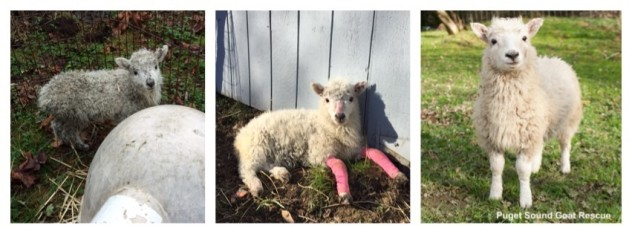 Callie upon arrival, one month into recovery and now two months since arriving at PSGR
