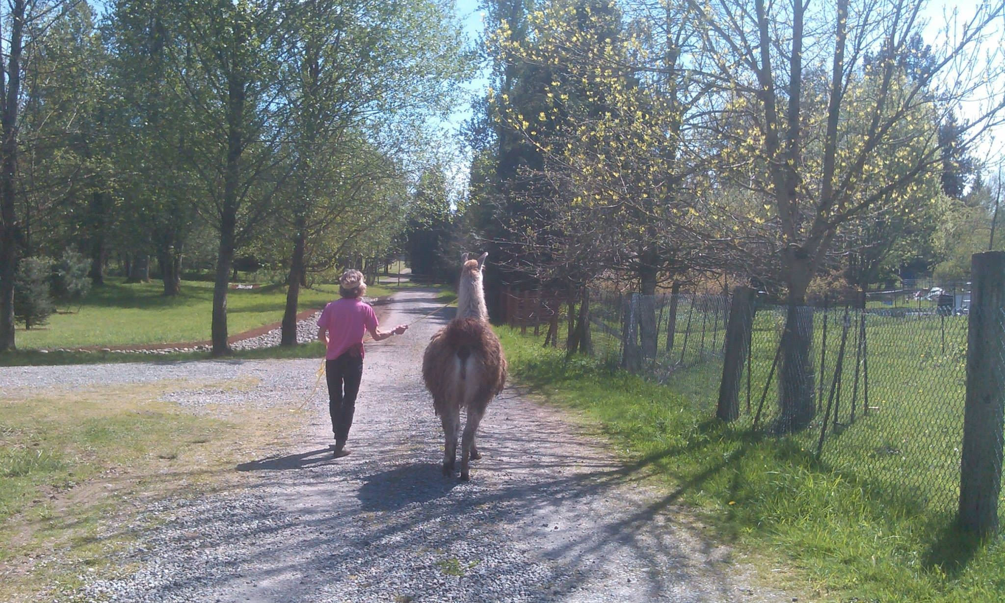 The victory walk for Roman the llama....from the slaughterhouse, to the rescue to a new lifelong home