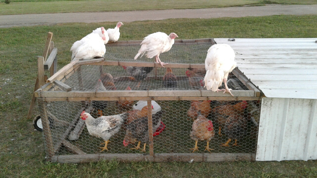 My turkeys loved to roost on the chicken tractor that I built.