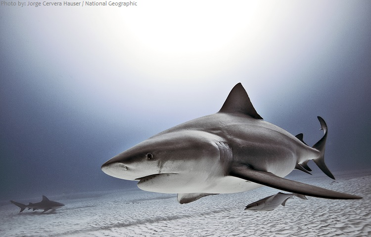 Bull sharks, as well as Thresher, Bonnethead and Nurse sharks are common in Tampa waters
