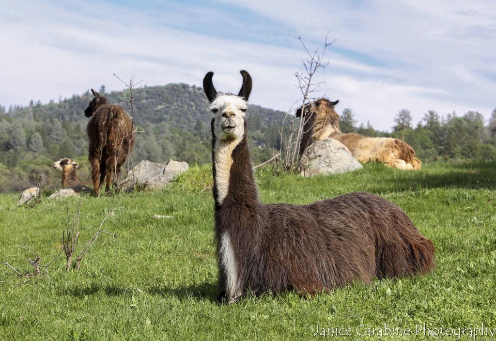 Llama Farm CR_-7.jpg