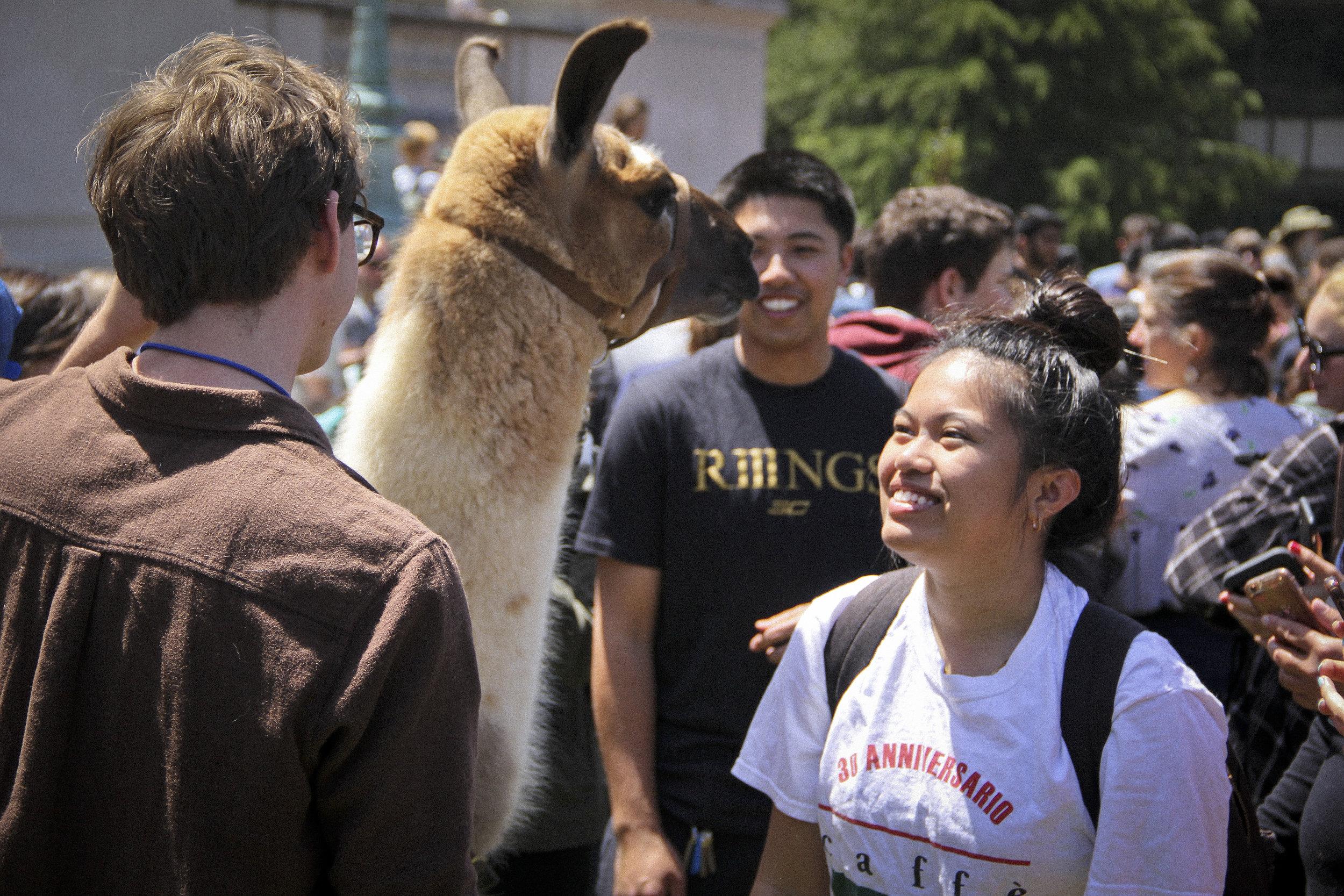 Llamas of Circle Home Berkeley _2.jpg