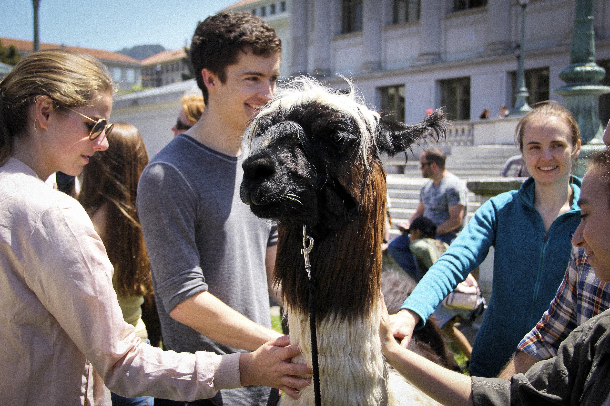 Llamas of Circle Home Berkeley _1.jpg