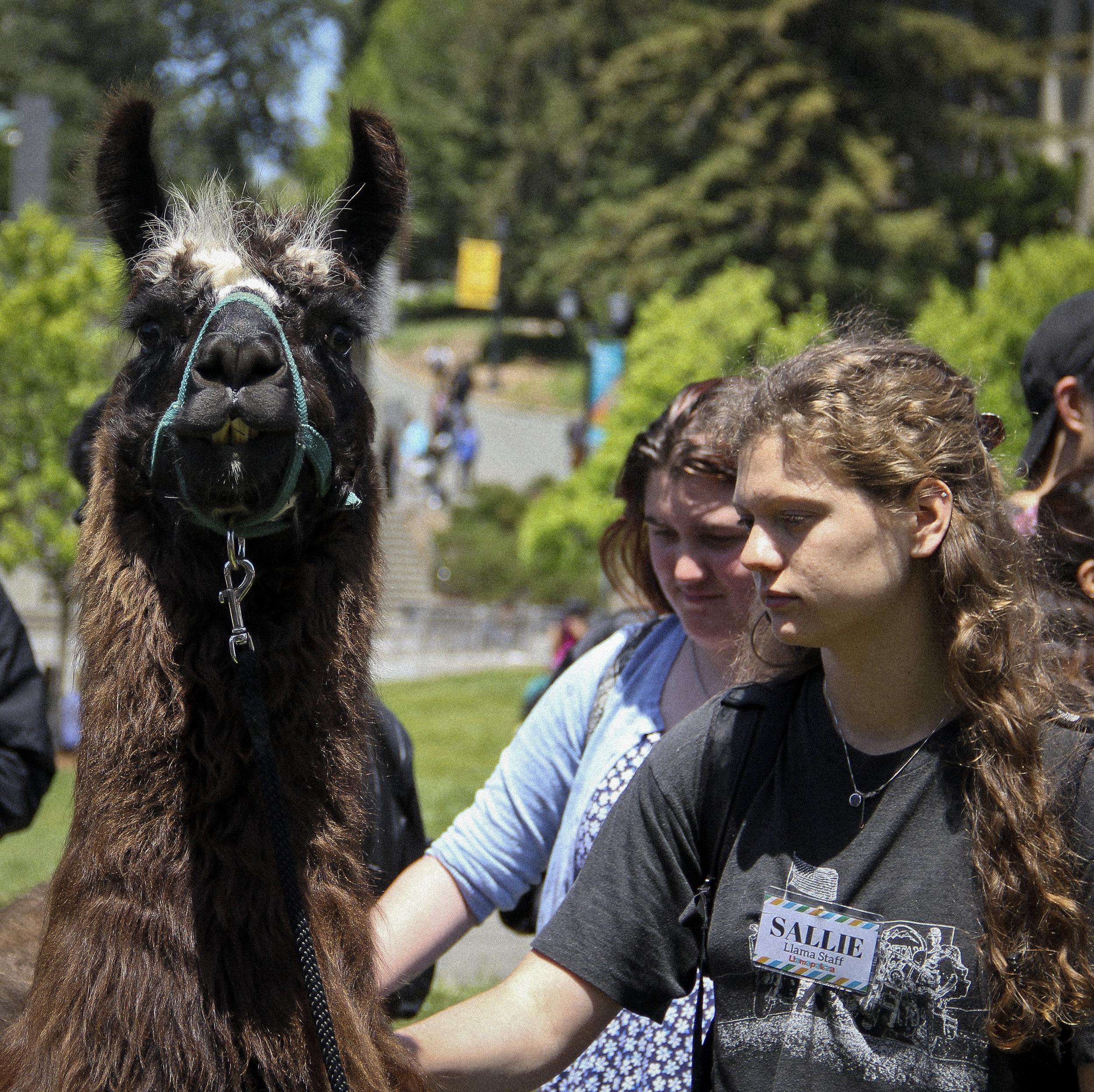 Llamas of Circle Home Berkeley _4.jpg