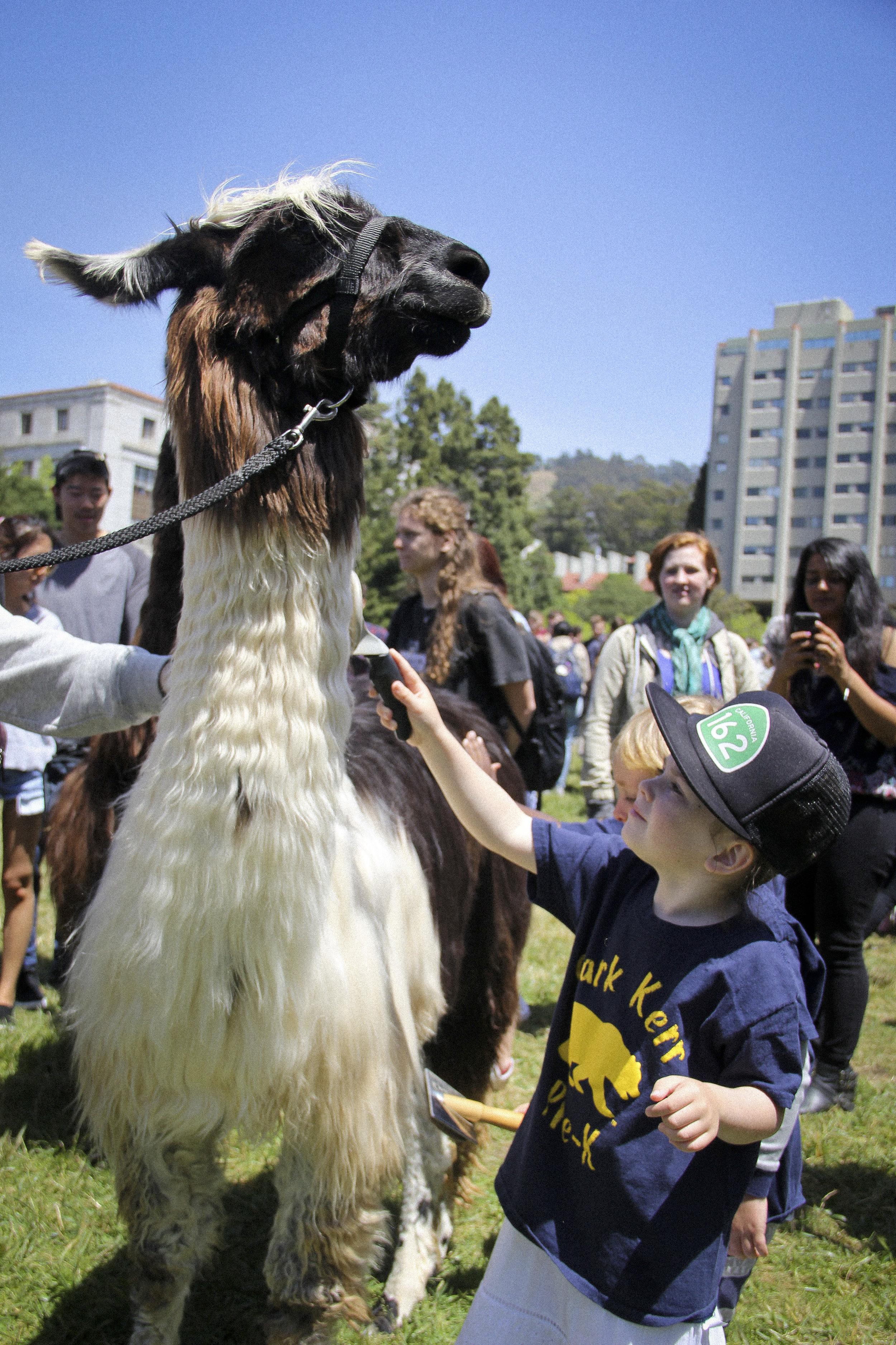 Llamas of Circle Home Berkeley _3.jpg