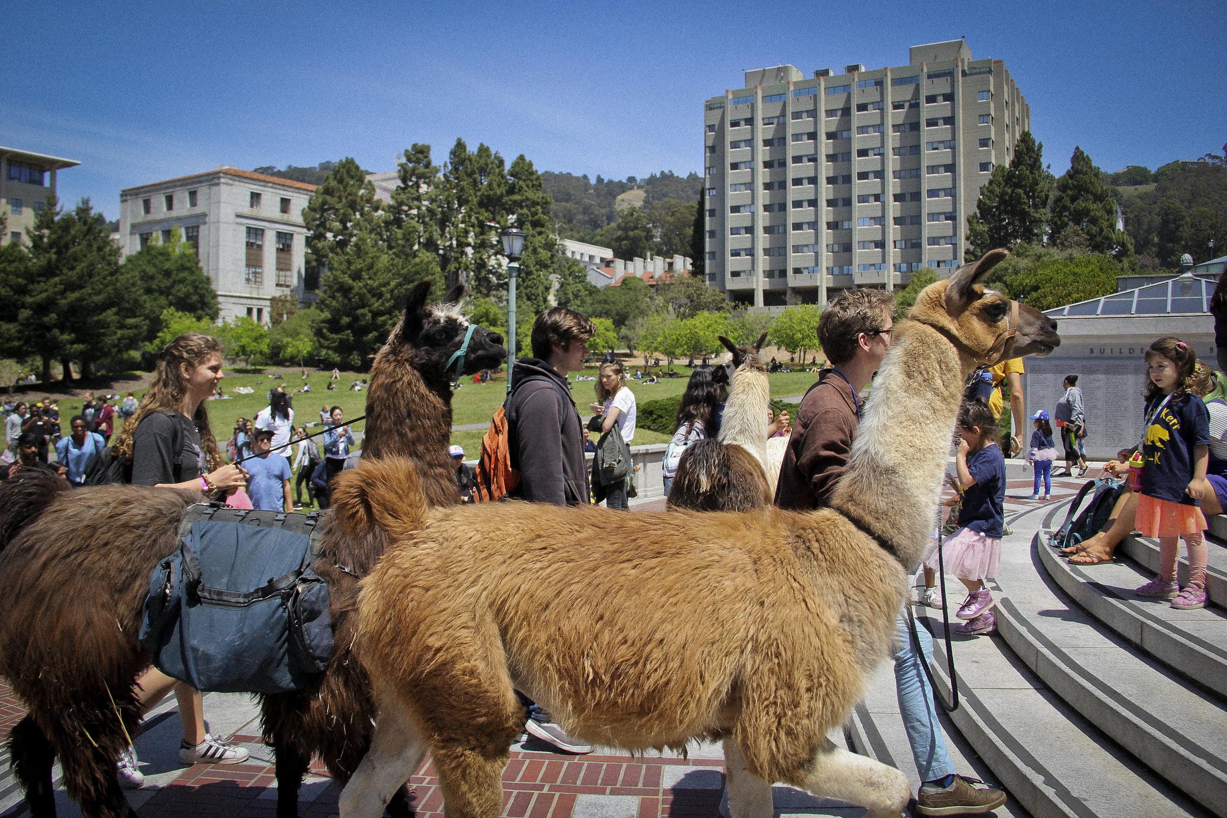 Llamas of Circle Home Berkeley _5.jpg