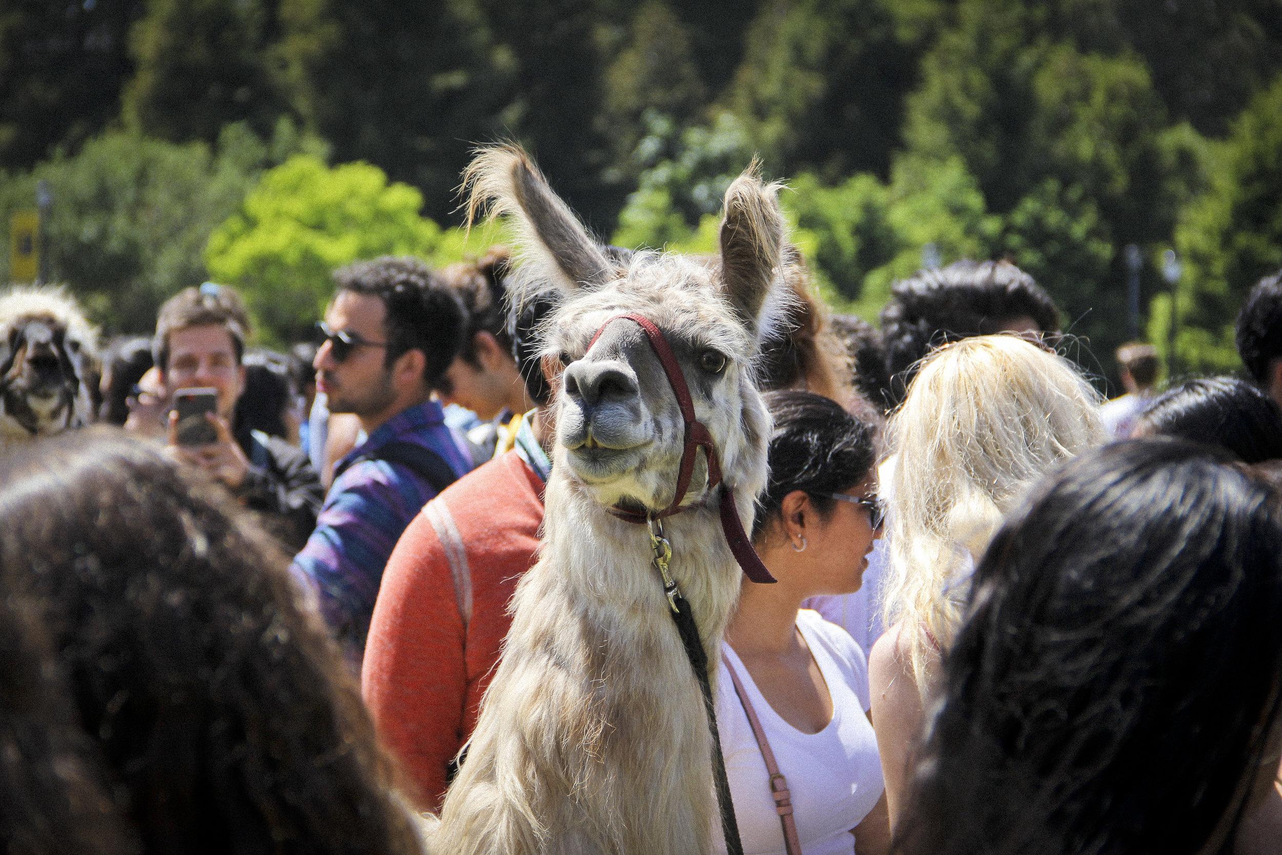 Llamas of Circle Home Berkeley _8.jpg