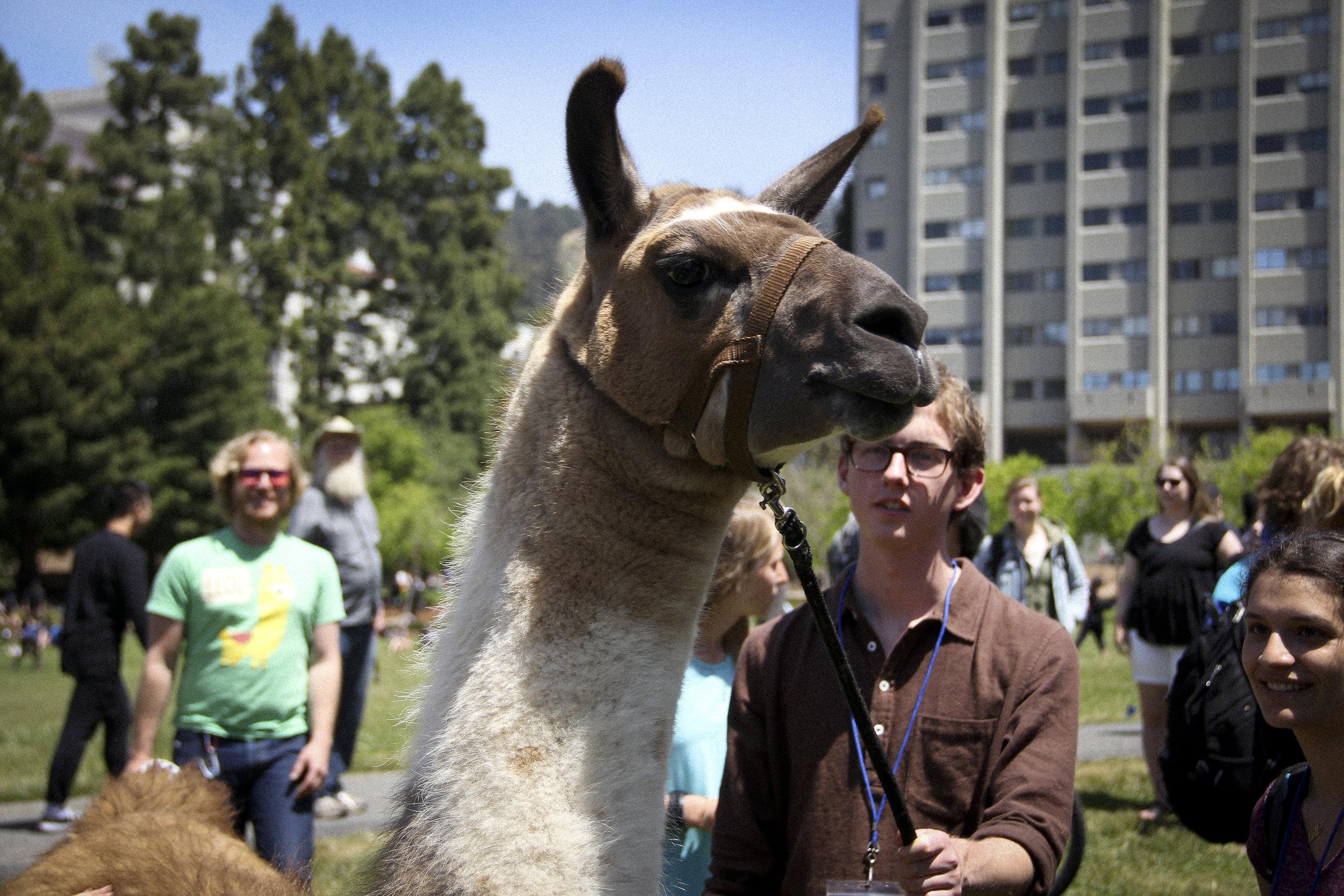 Llamas of Circle Home Berkeley .jpg