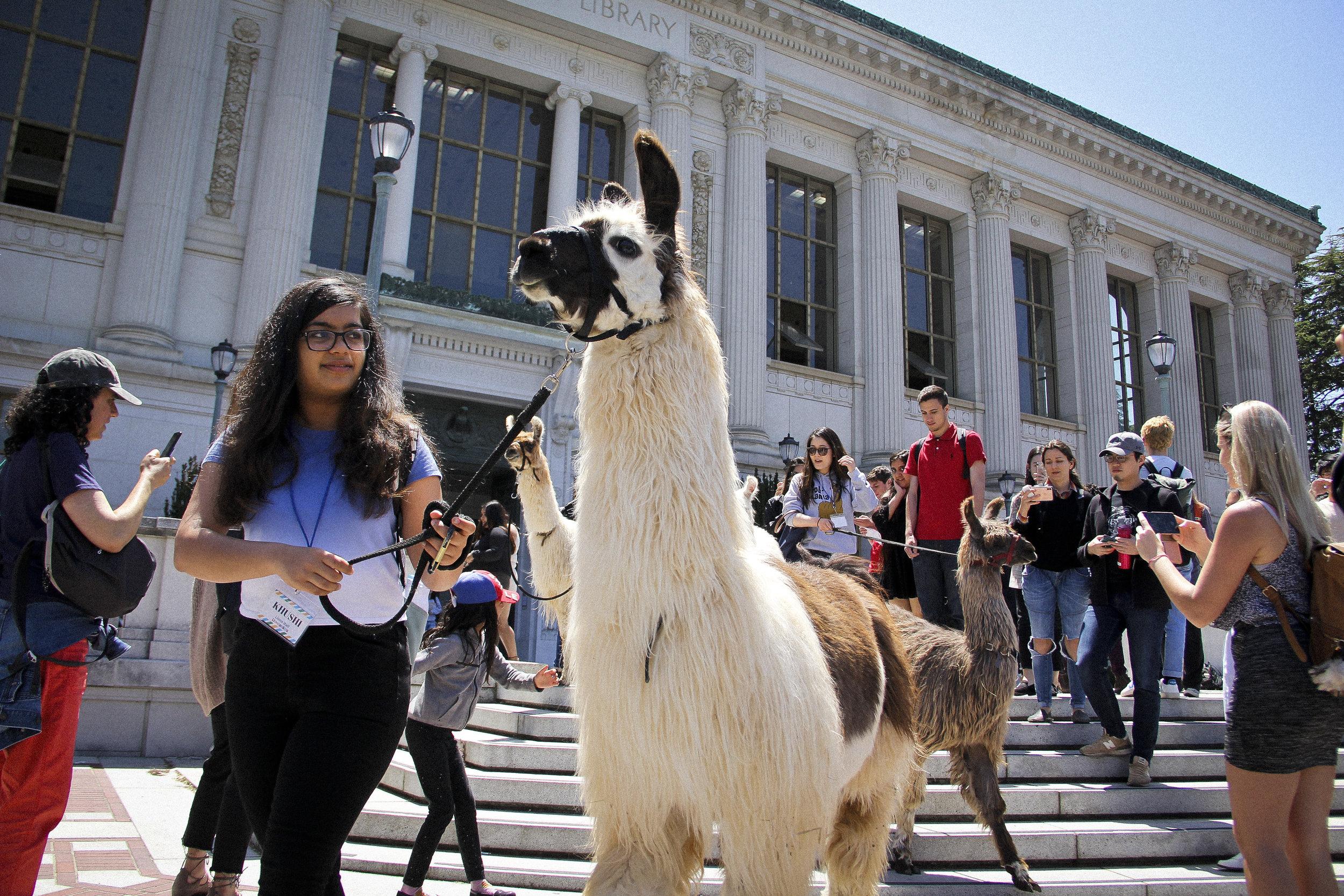Llamas of Circle Home Berkeley _11.jpg