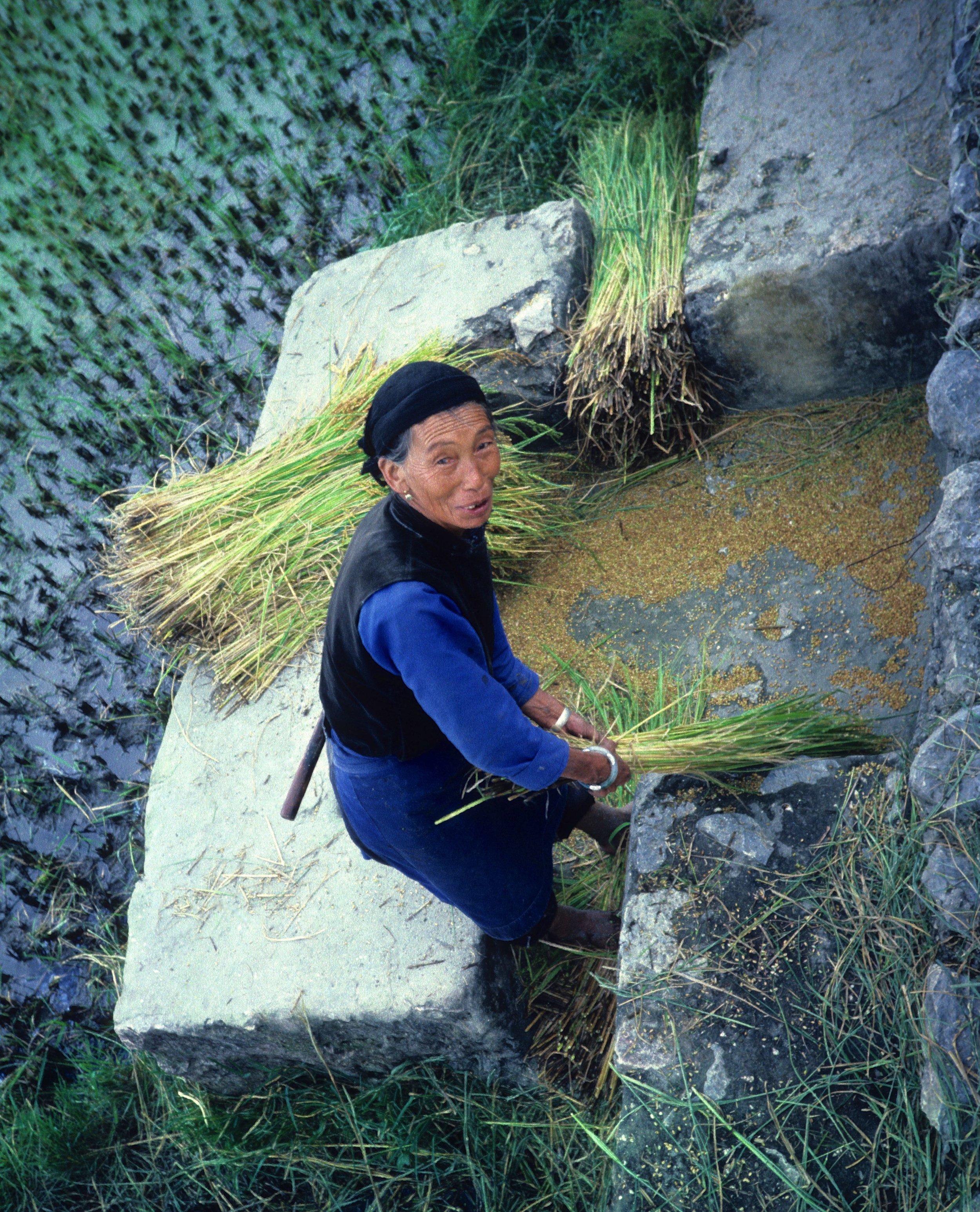 Harvesting rice, Dali (Kunming Province), China 1986