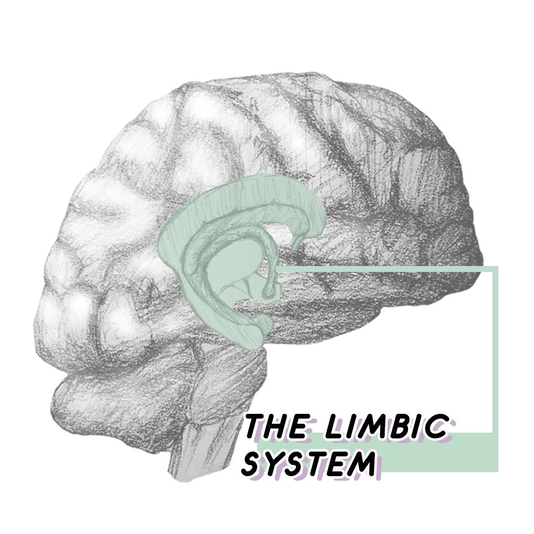 limbic image.jpg