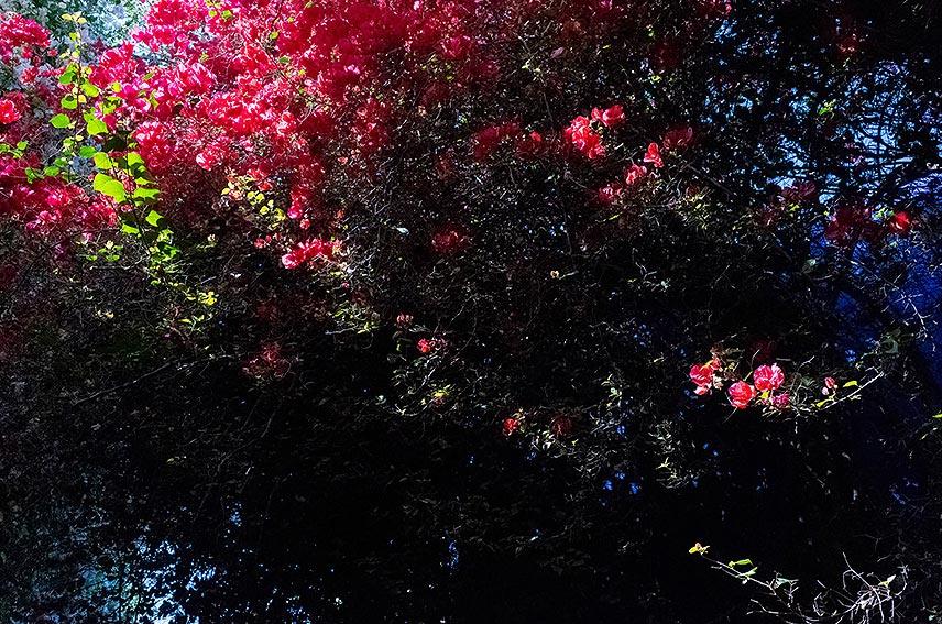 ROSAS PARADISE 8-farbiger Druck · Acrylglas auf Alu-Verbund 45 x 29 cm  Preis auf Anfrage