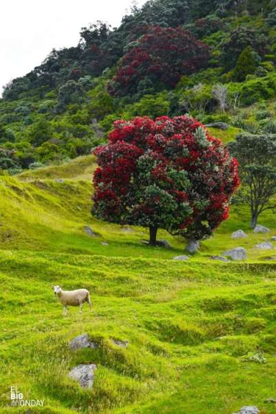 новозеландское рождественское дерево похутукава  источник