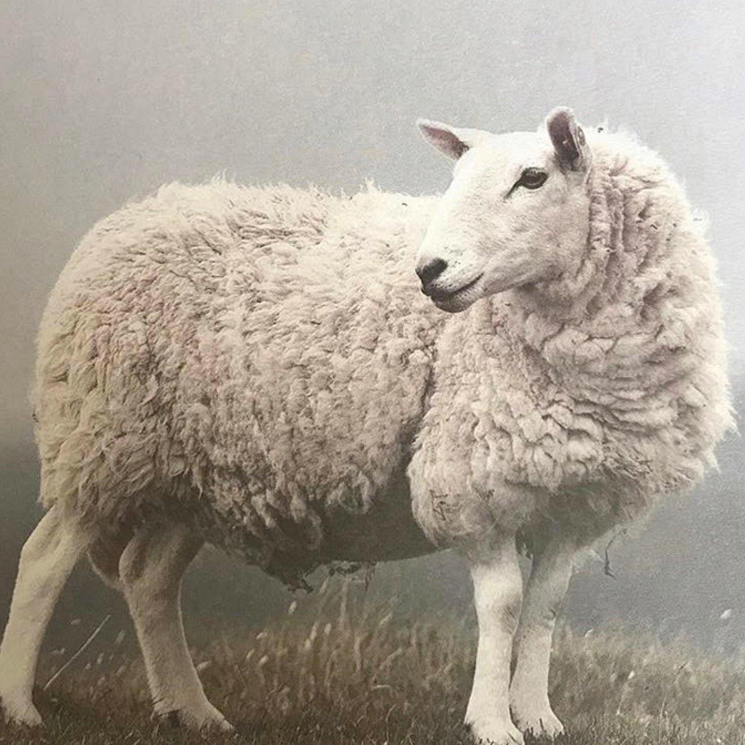 merino sheep (2).jpg