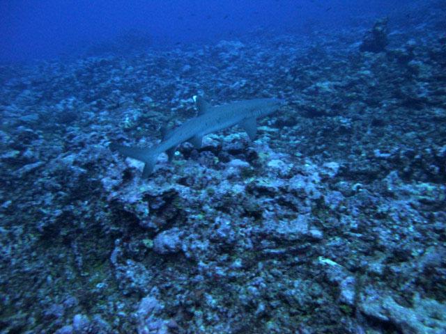 white tip over dead reef.jpg