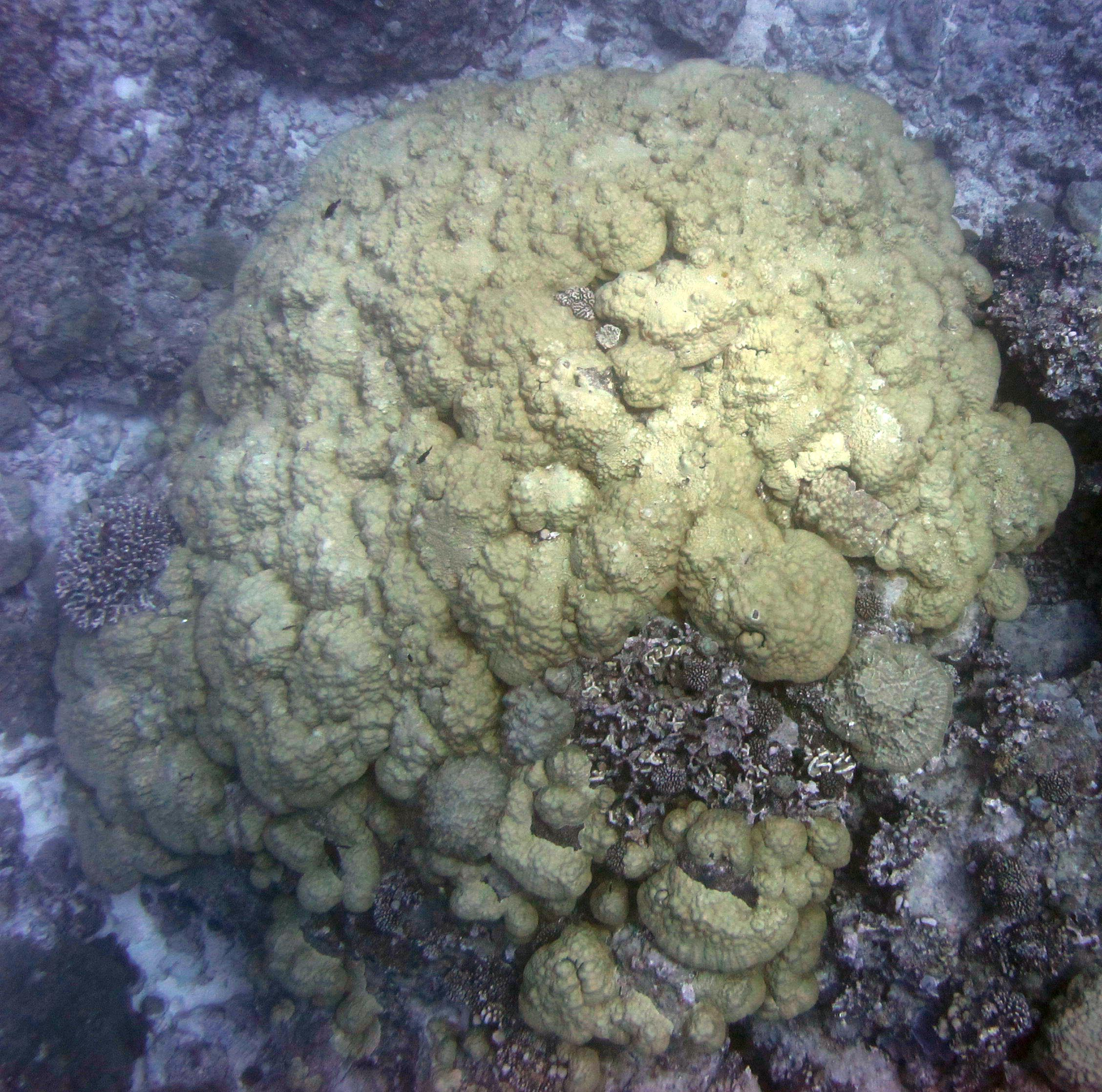 monster porites.jpg
