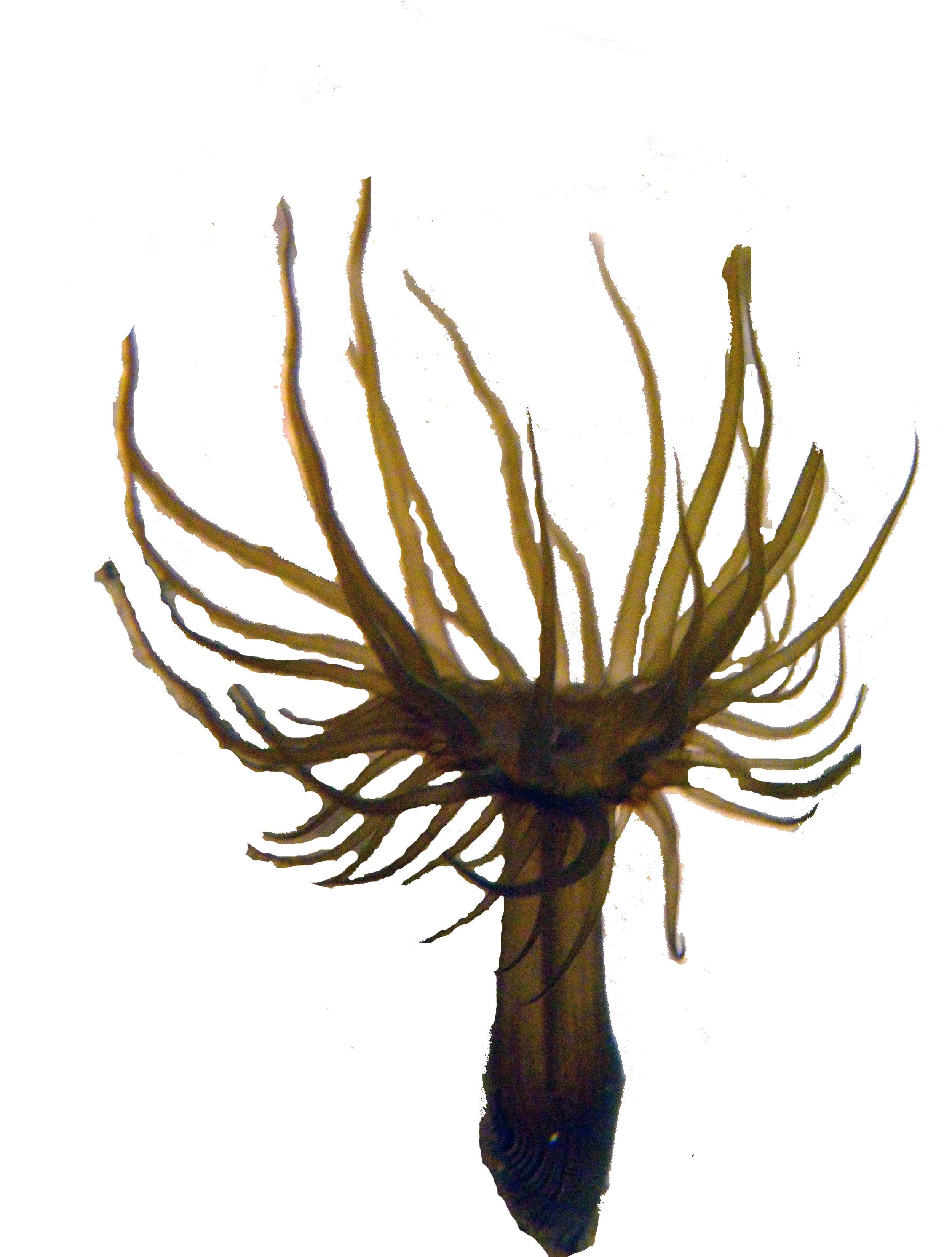 trimmed anemone copy.jpg