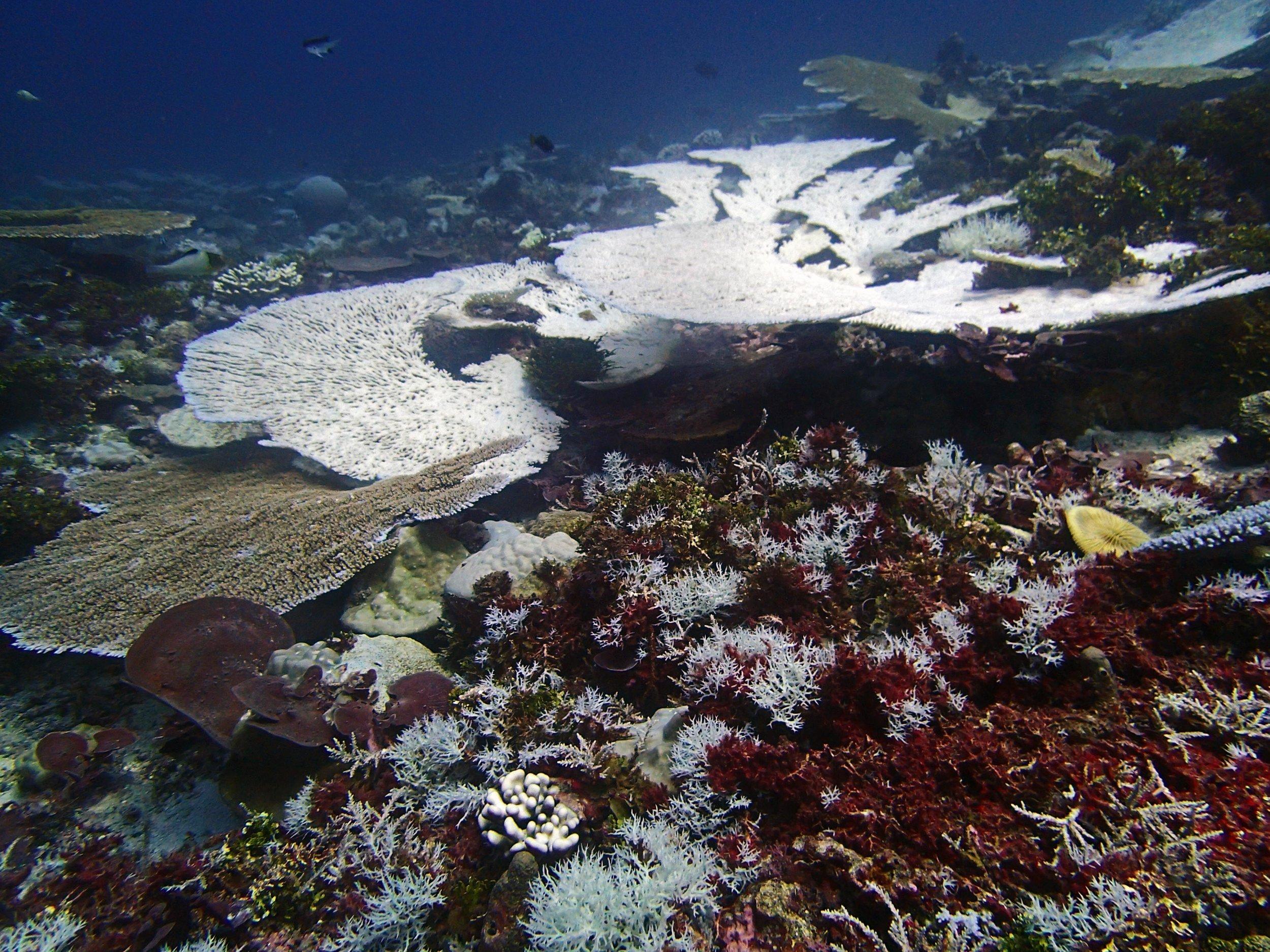 bleaching reef in Chagos 2.jpg
