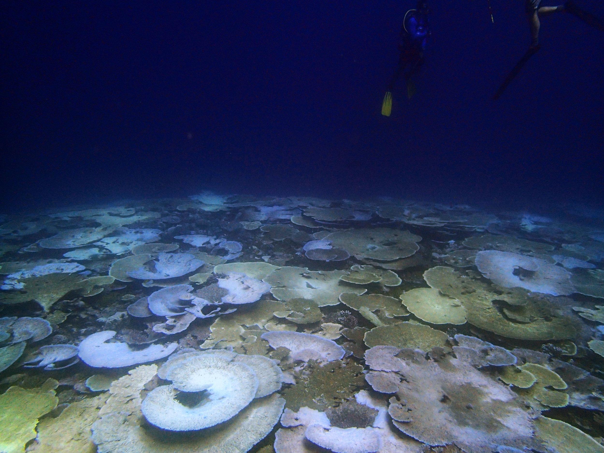 bleaching reef in Chagos.jpg