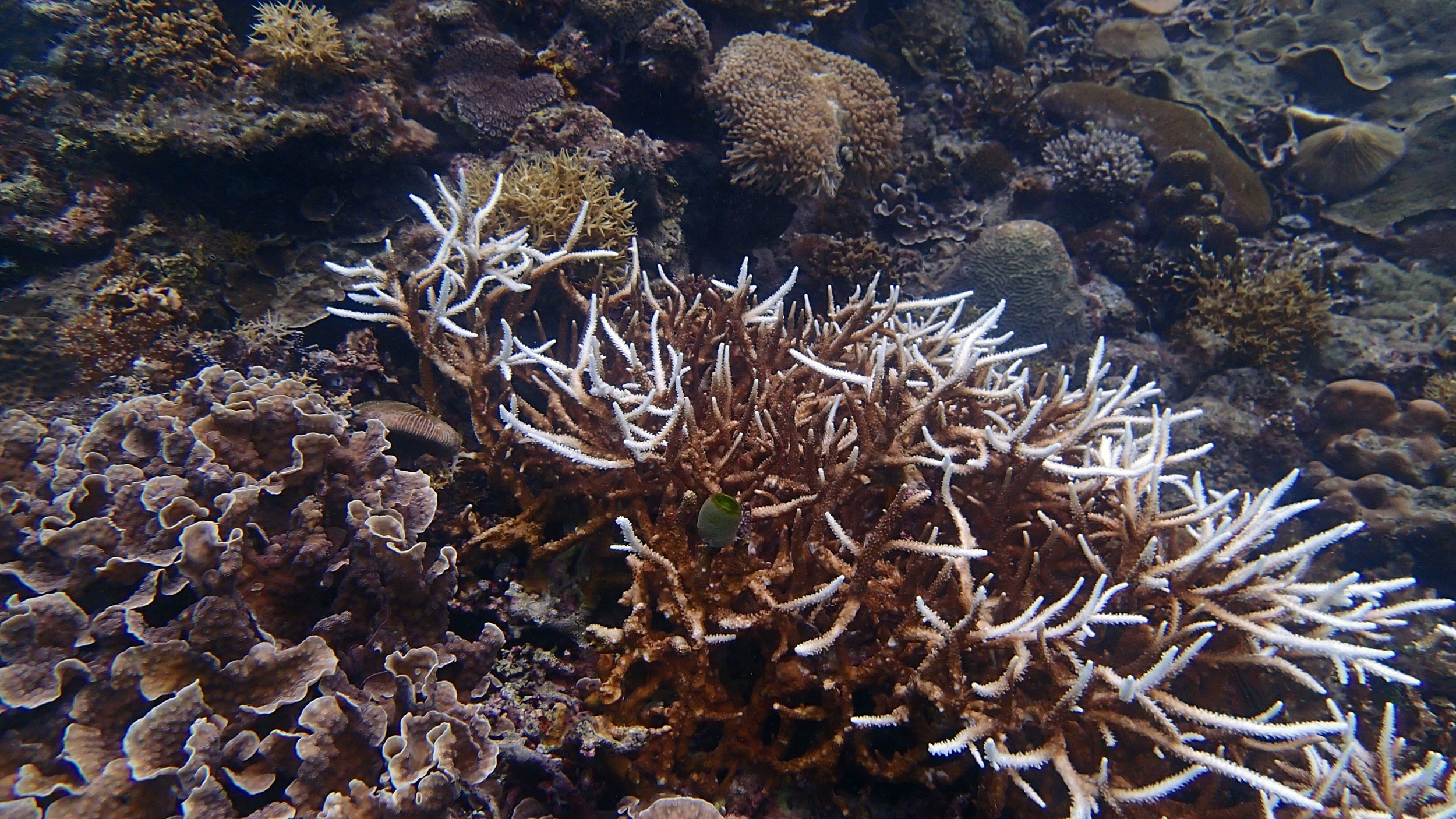 partially bleached Acropora.jpg