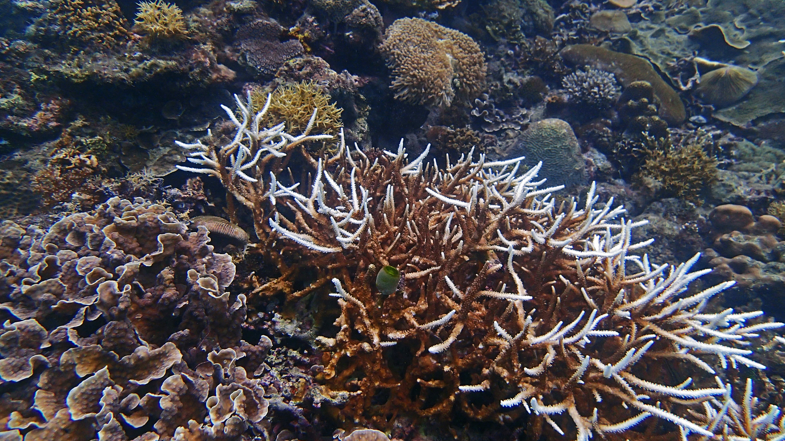 partially bleached Acropora-Philippines.jpg