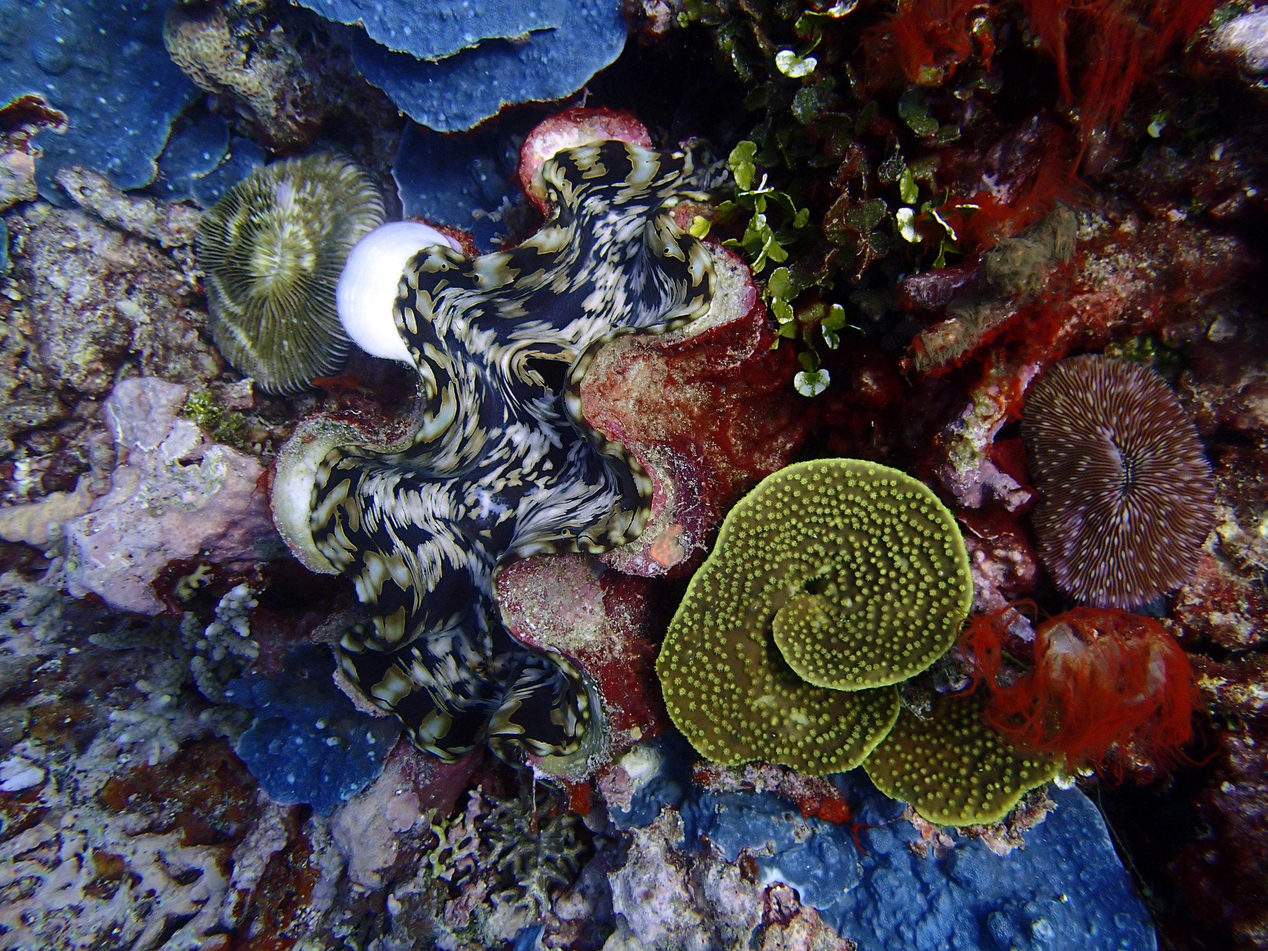 giant clam at Utupua.jpg