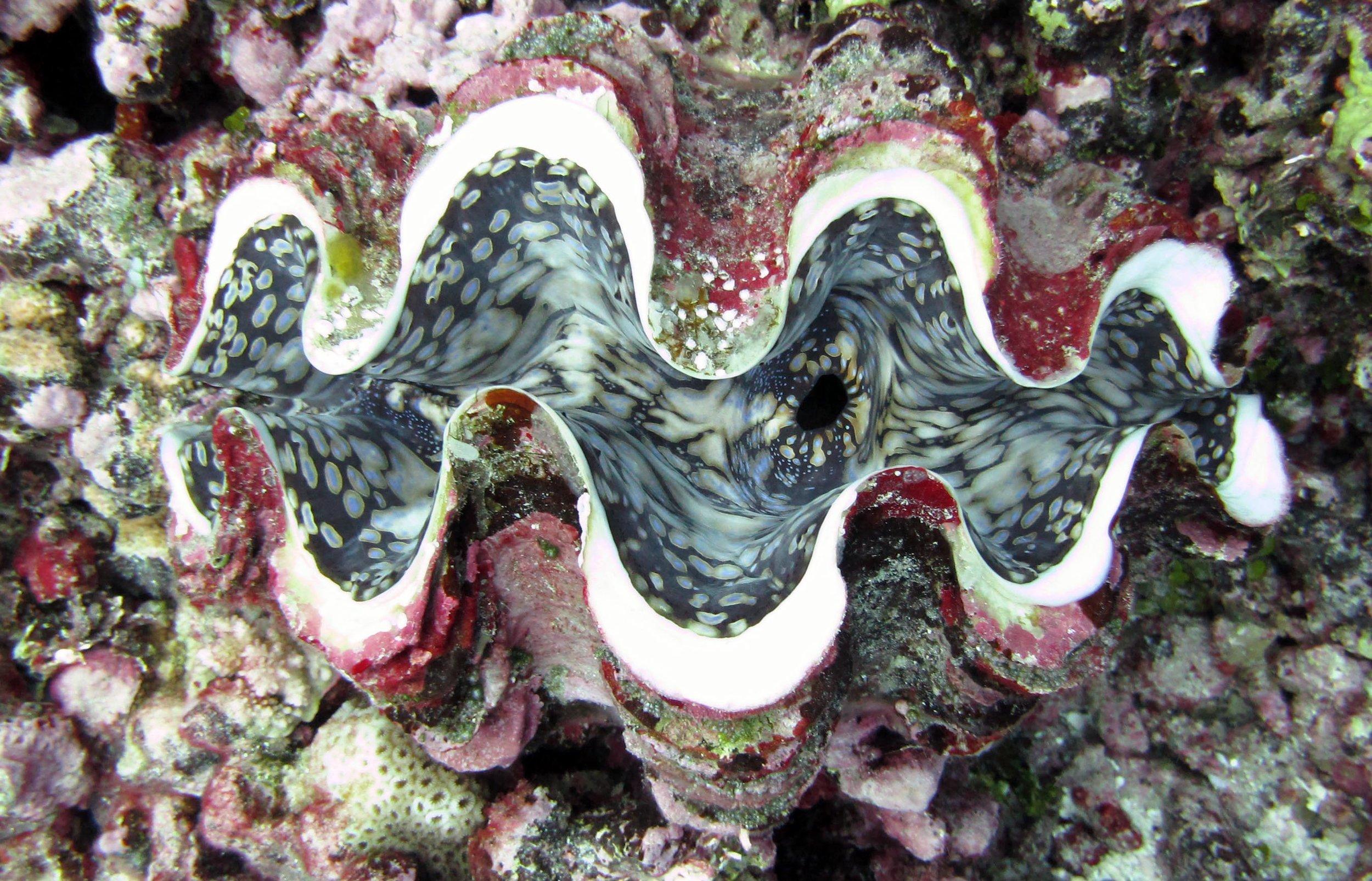 beautiful giant clam.jpg
