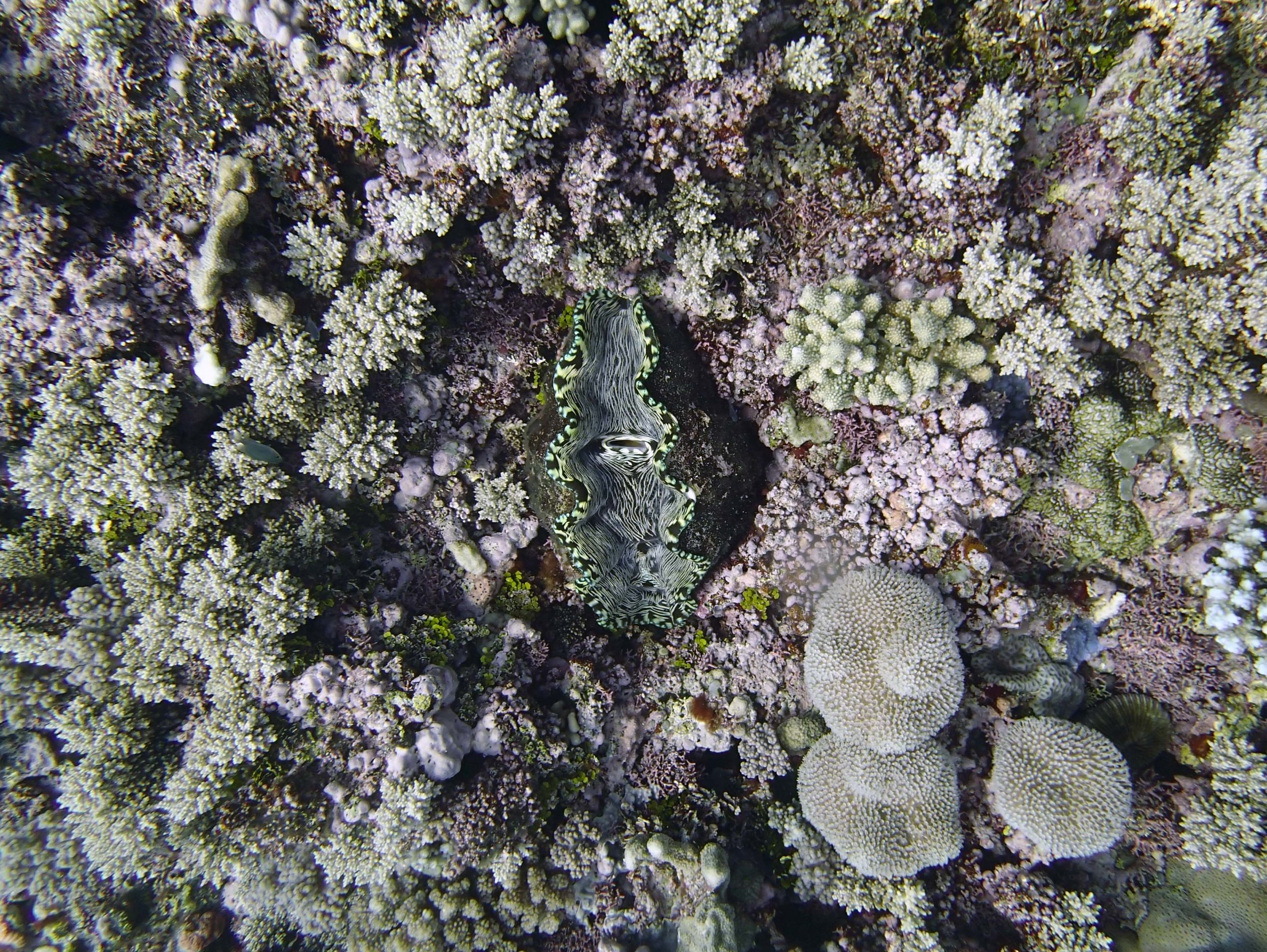 giant clam 2.jpg