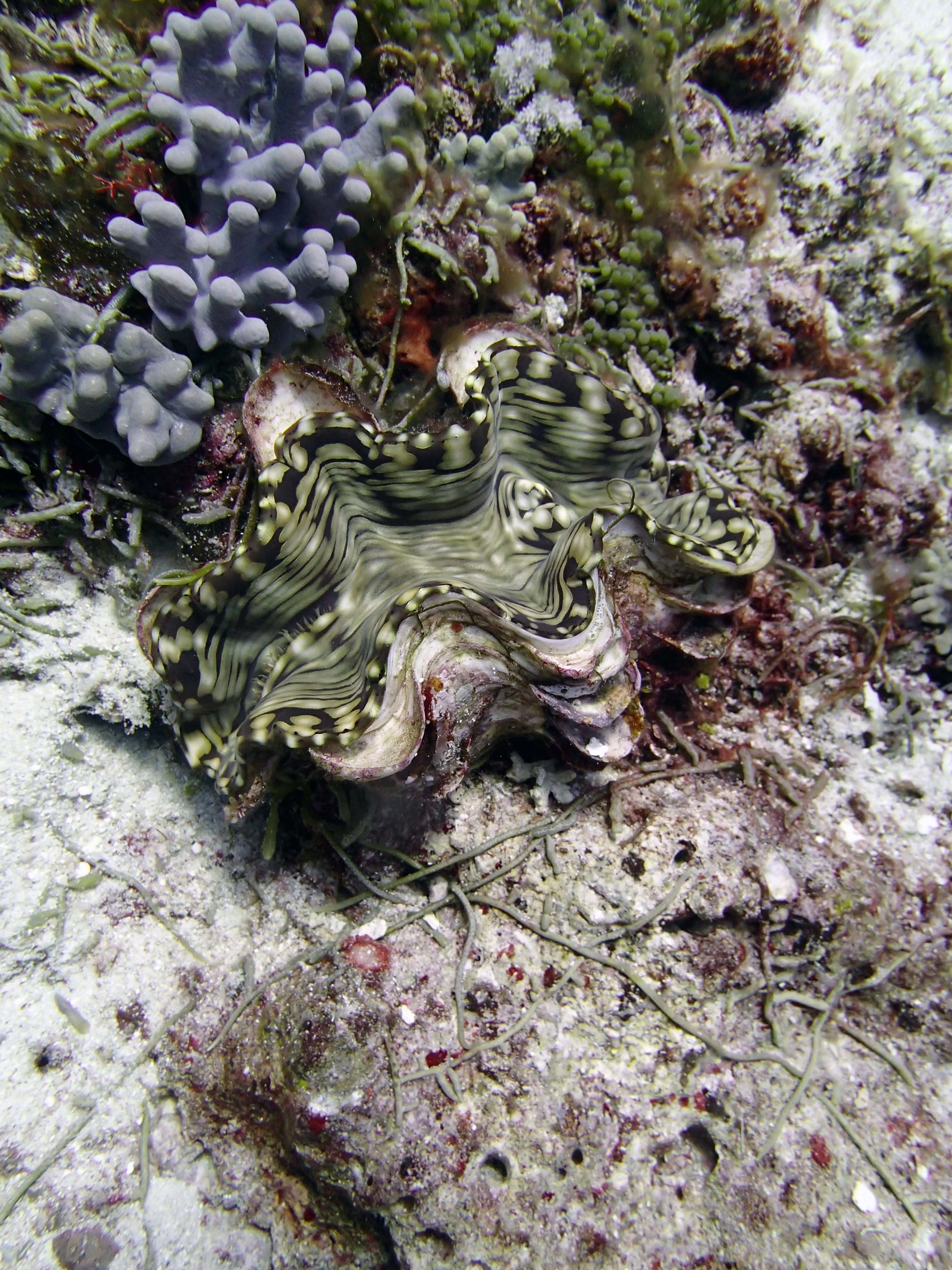 giant clam 1.JPG