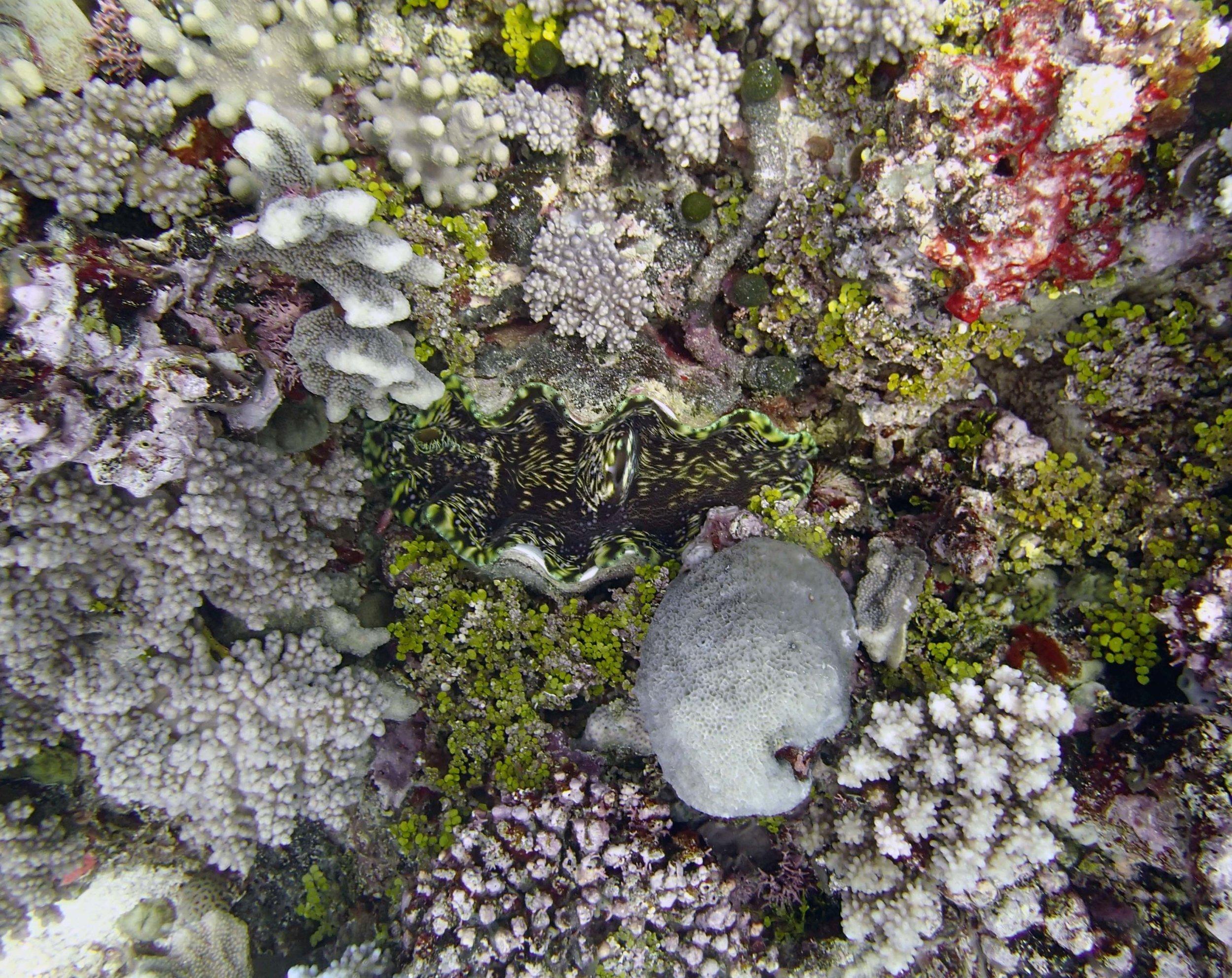 giant clam 3.jpg